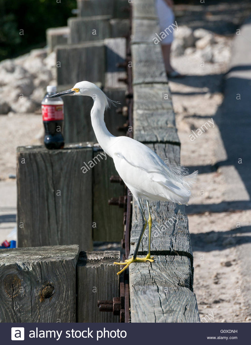 A Snowy Egret perches on a road barrier near a soda bottle at Ding Darling National Wildlife Refuge in Sanibel, - Stock Image