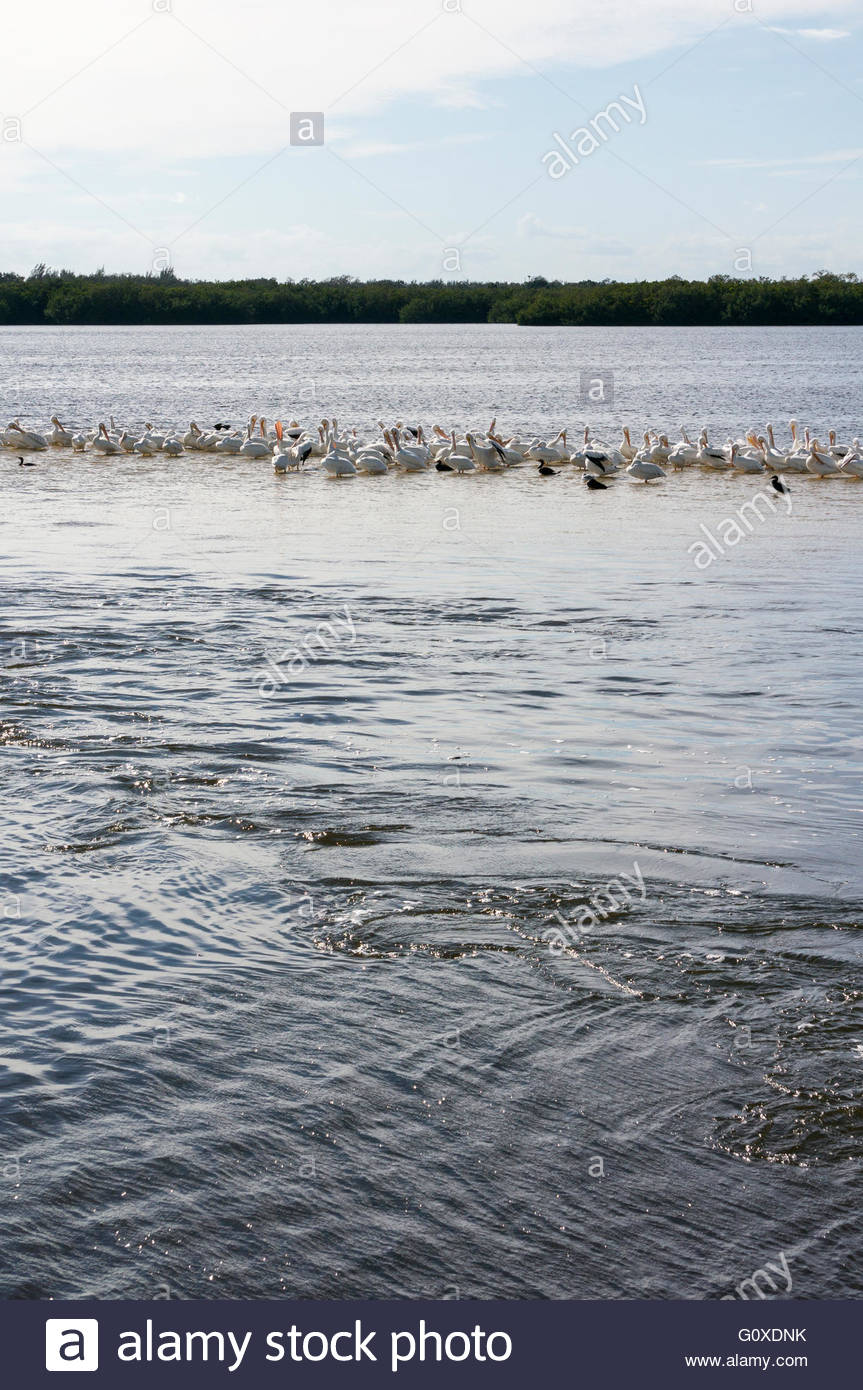 White Pelicans and Cormorants share a sandbar at Ding Darling National Wildlife Refuge in Sanibel, Florida - Stock Image