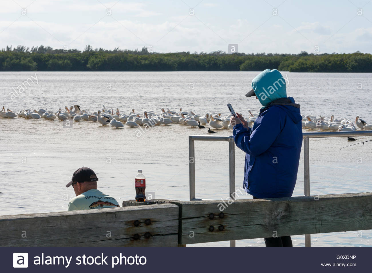 A woman looks at her cell phone with white pelicans and cormorants behind her at Ding Darling National Wildlife - Stock Image