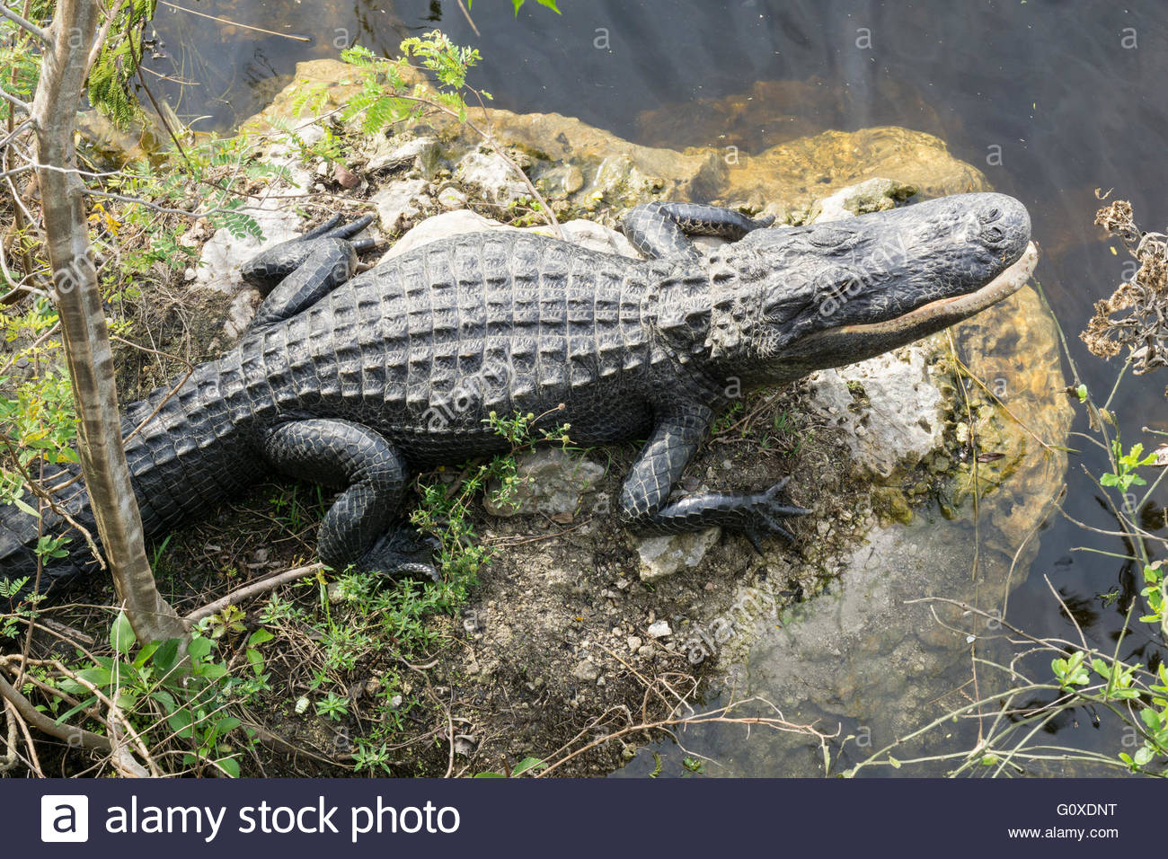 An alligator perches on a rock at the Oasis Visitors Center in Big Cypress National Preserve in the Everglades in - Stock Image
