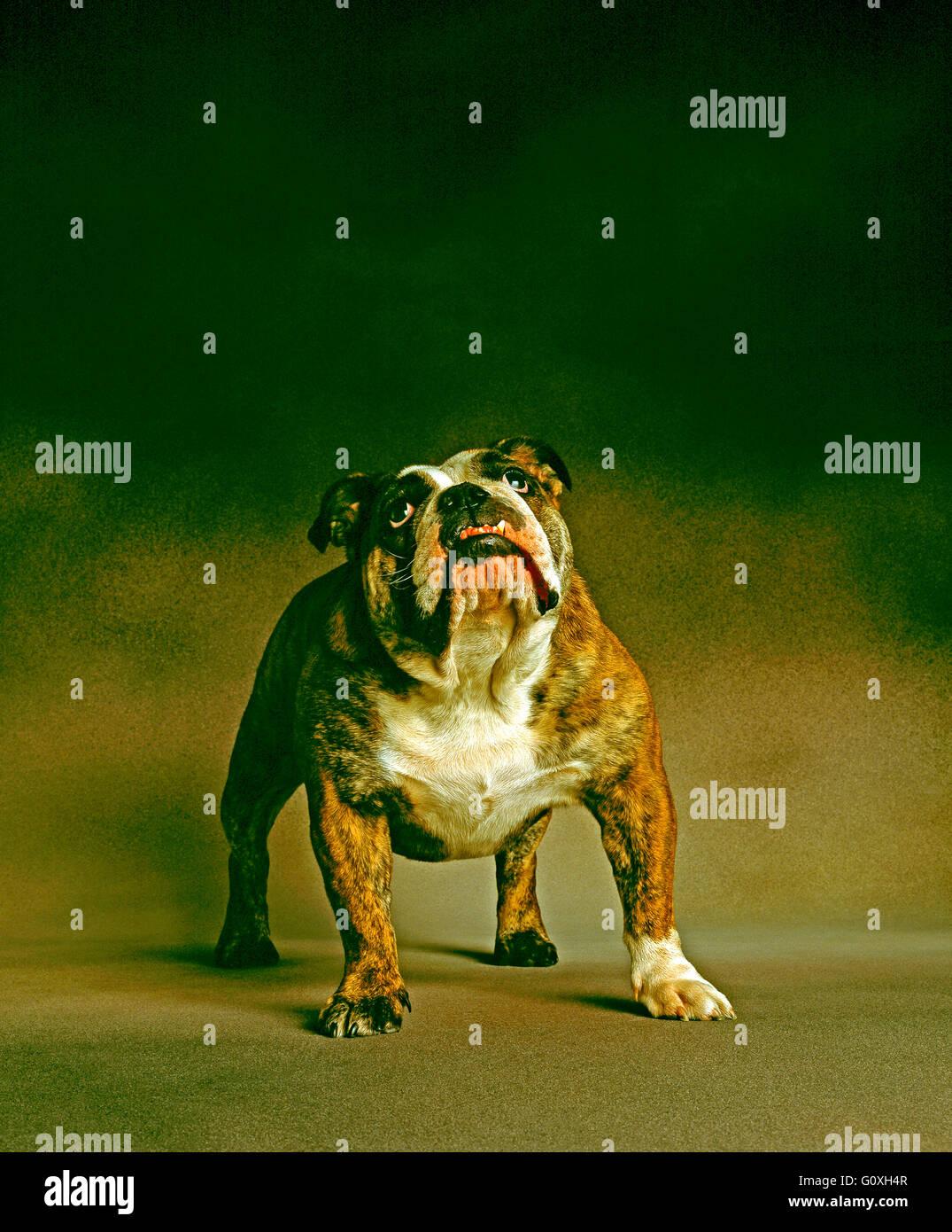 British Bulldog staring into camera - Stock Image