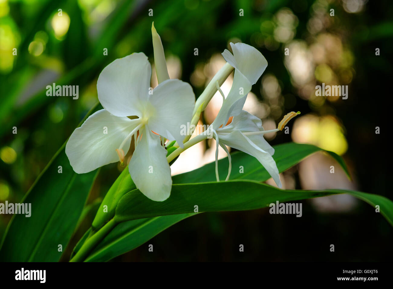 White Ginger Lily Flower On The Garden Hedychium Coronarium Stock