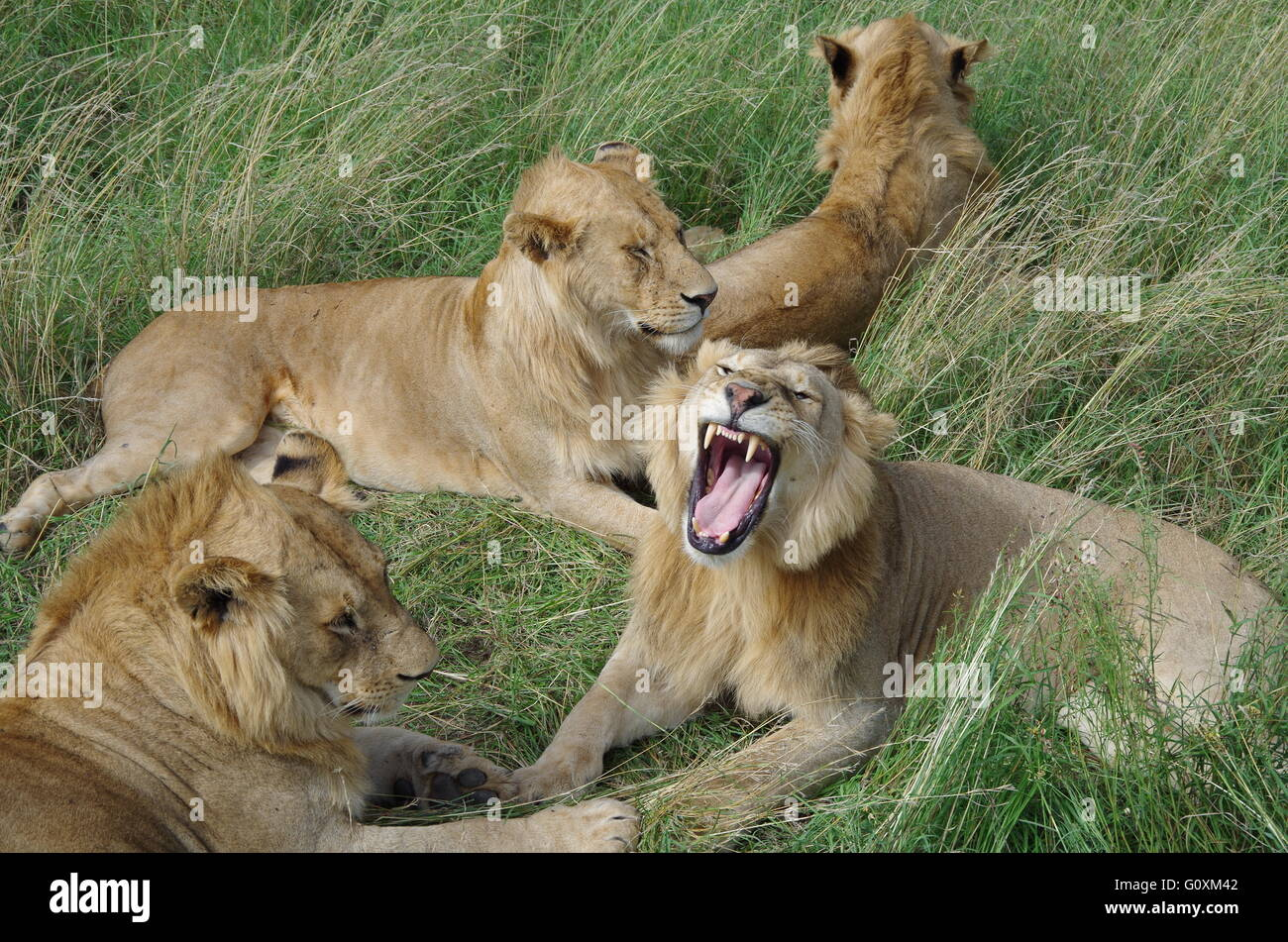 lion yawning - Stock Image