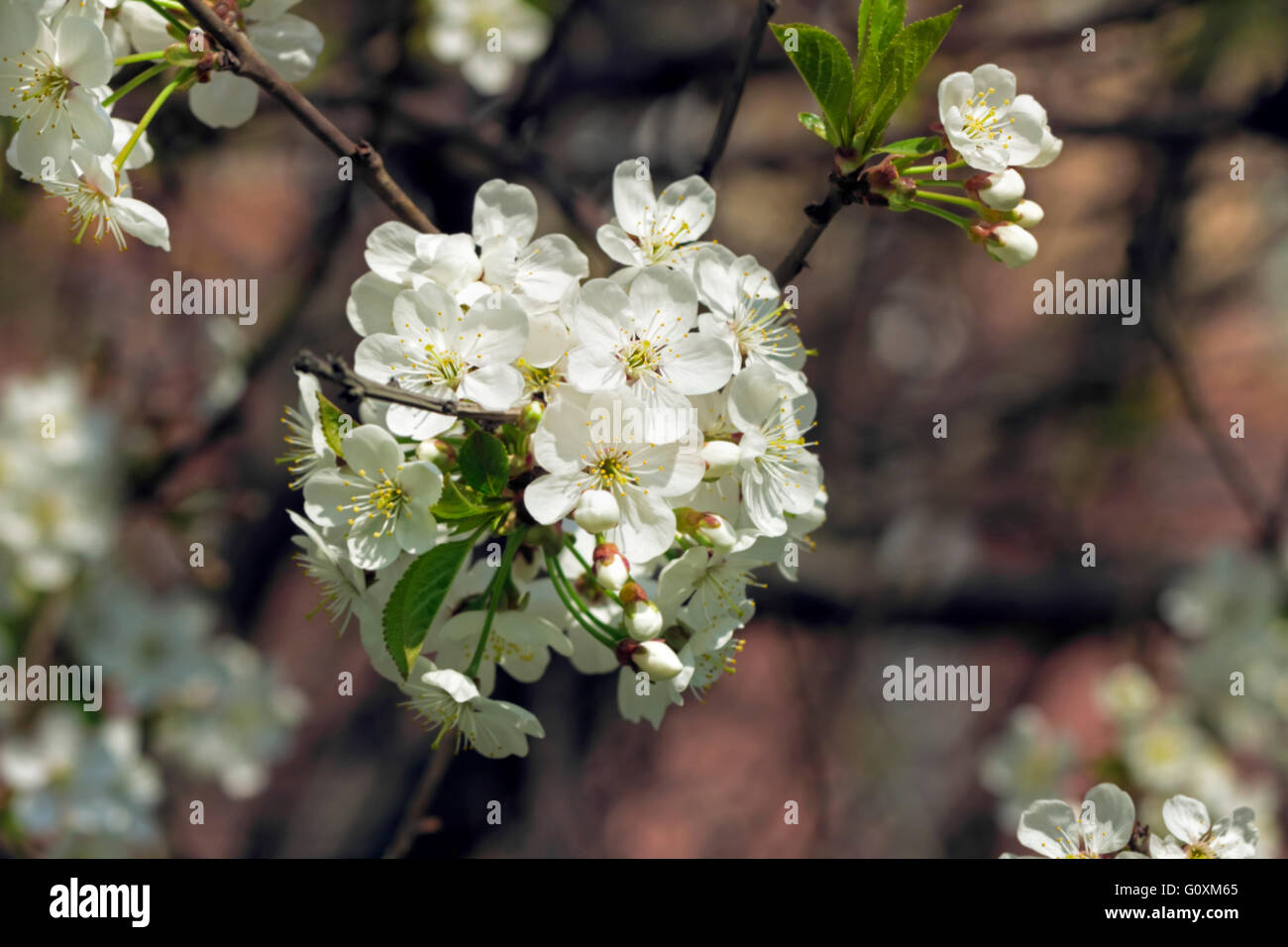 Nice flowering branch of cherry at spring sunny day - Stock Image