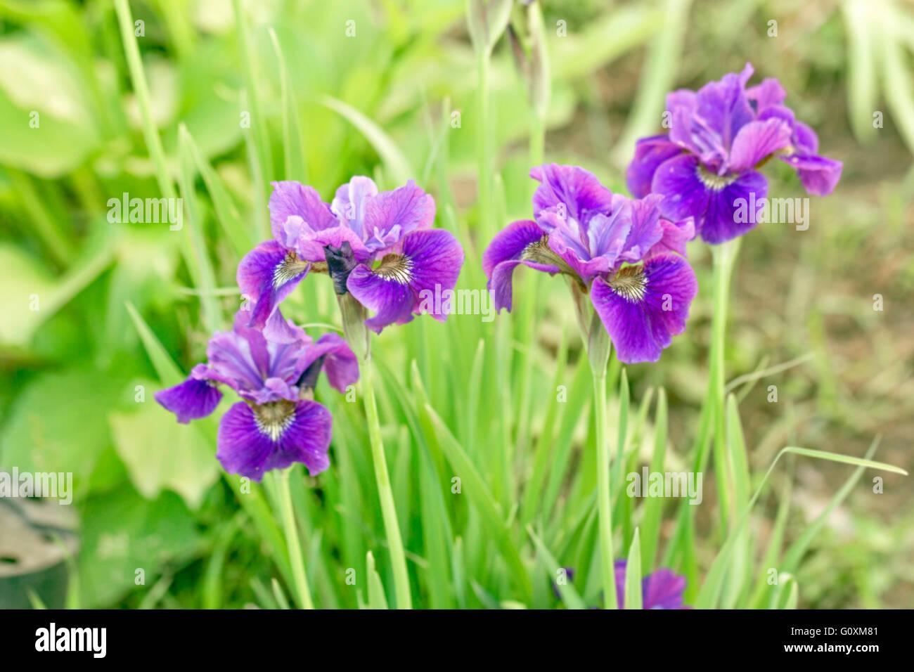Wonderful world of flowers stock photos wonderful world of flowers beauty purple irises in green summer garden stock image izmirmasajfo