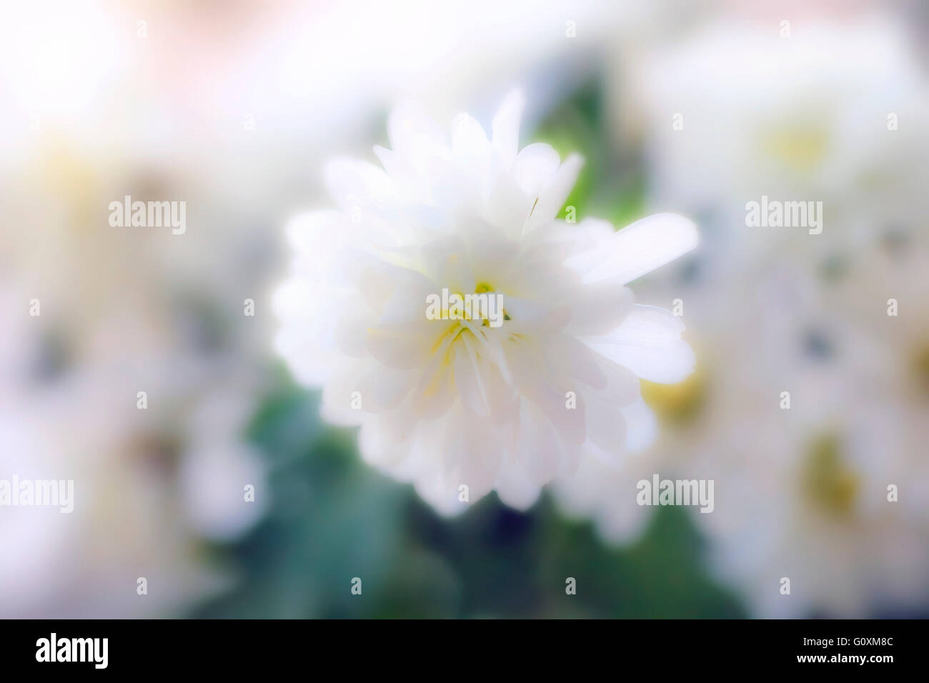 Nice delicate white flower blur at rays of light - Stock Image
