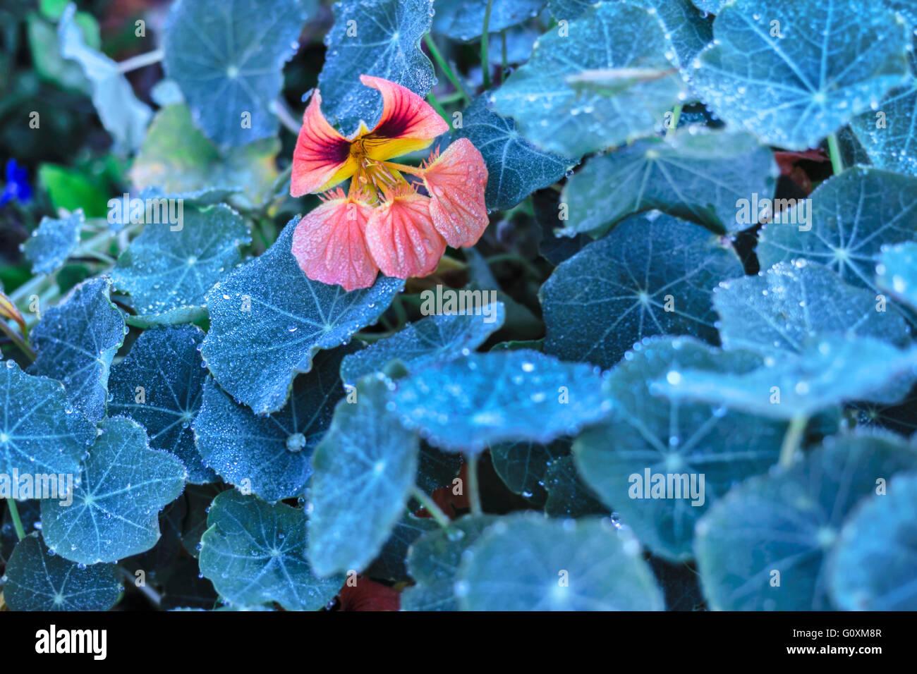 Nice flower of nasturtium at dark leaves area - Stock Image