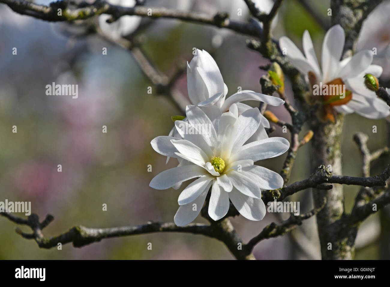 Branch With One White Magnolia Flower With Twigs And Fresh New Buds