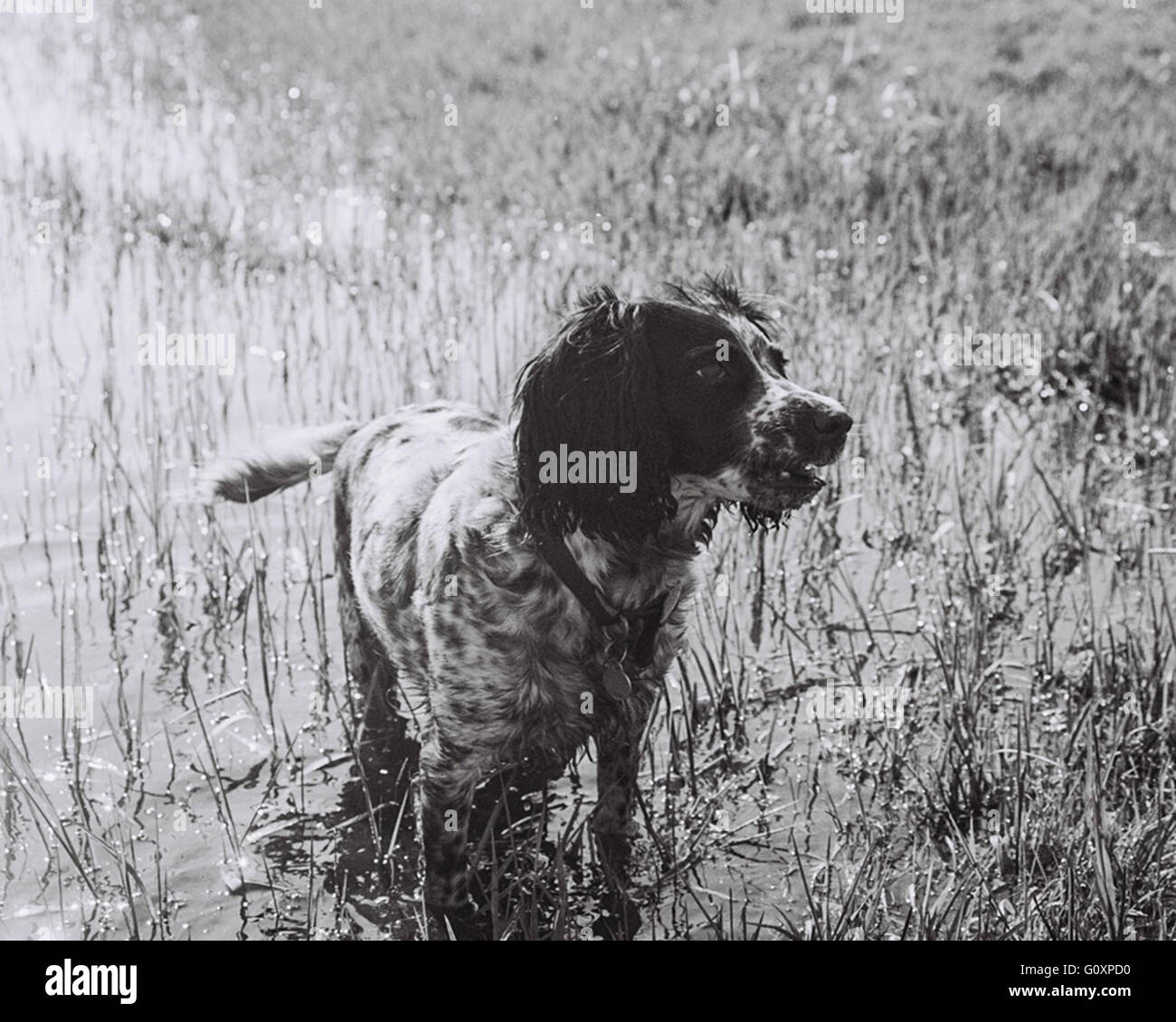 dog doggie, cute, cocker spaniel, springer spaniel - Stock Image