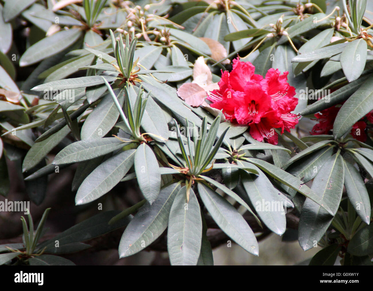 Rhododendron arboreum, Tree Rhododendron, evergreen shrub or small tree with bright red flowers in clusters - Stock Image