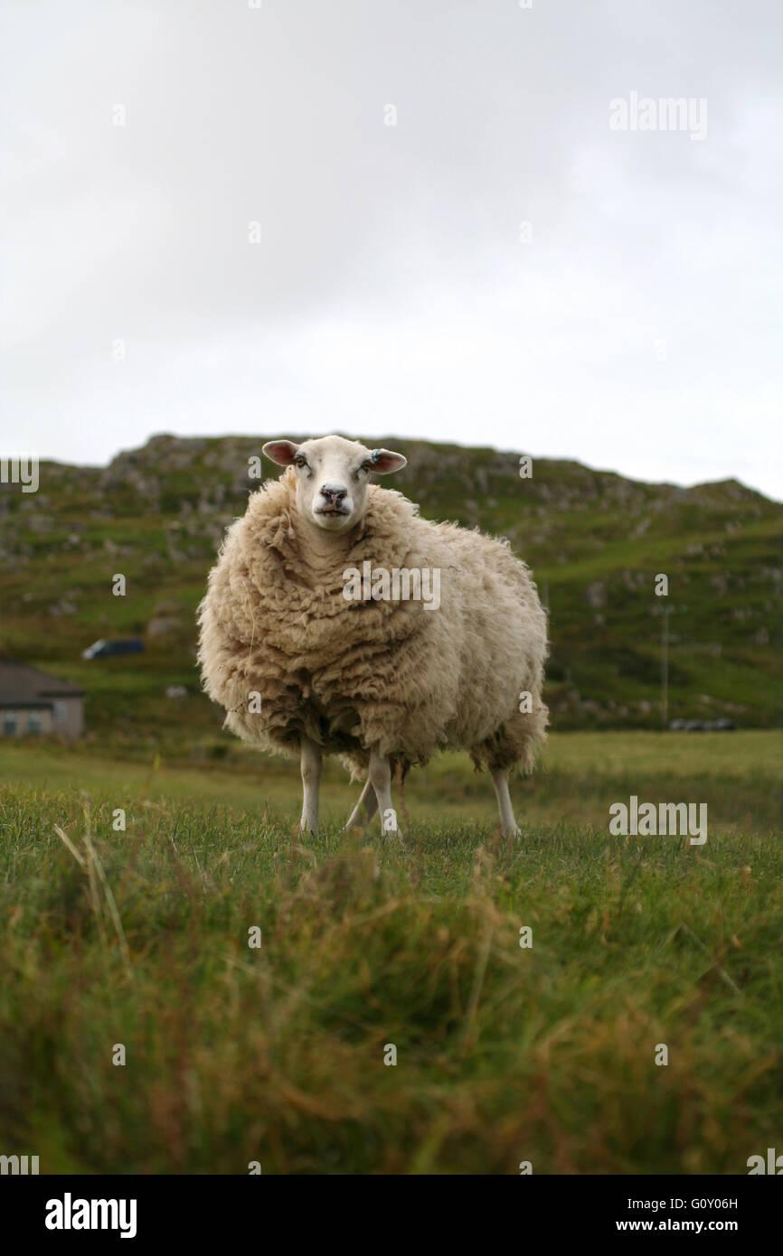 Sheep on the Isle of Iona, Scotland, UK - Stock Image