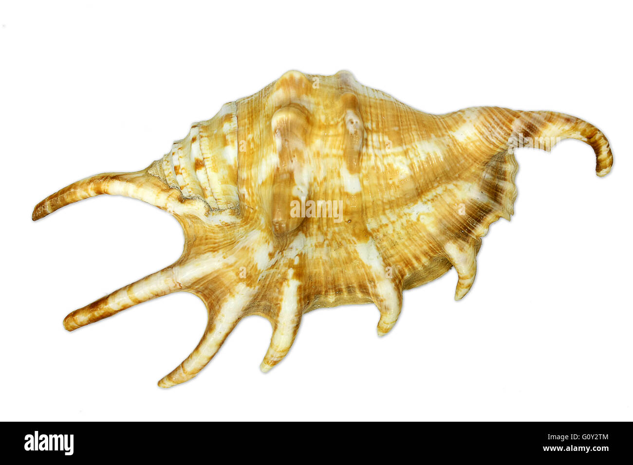 Sea snail with spikes isolated on white background - Stock Image
