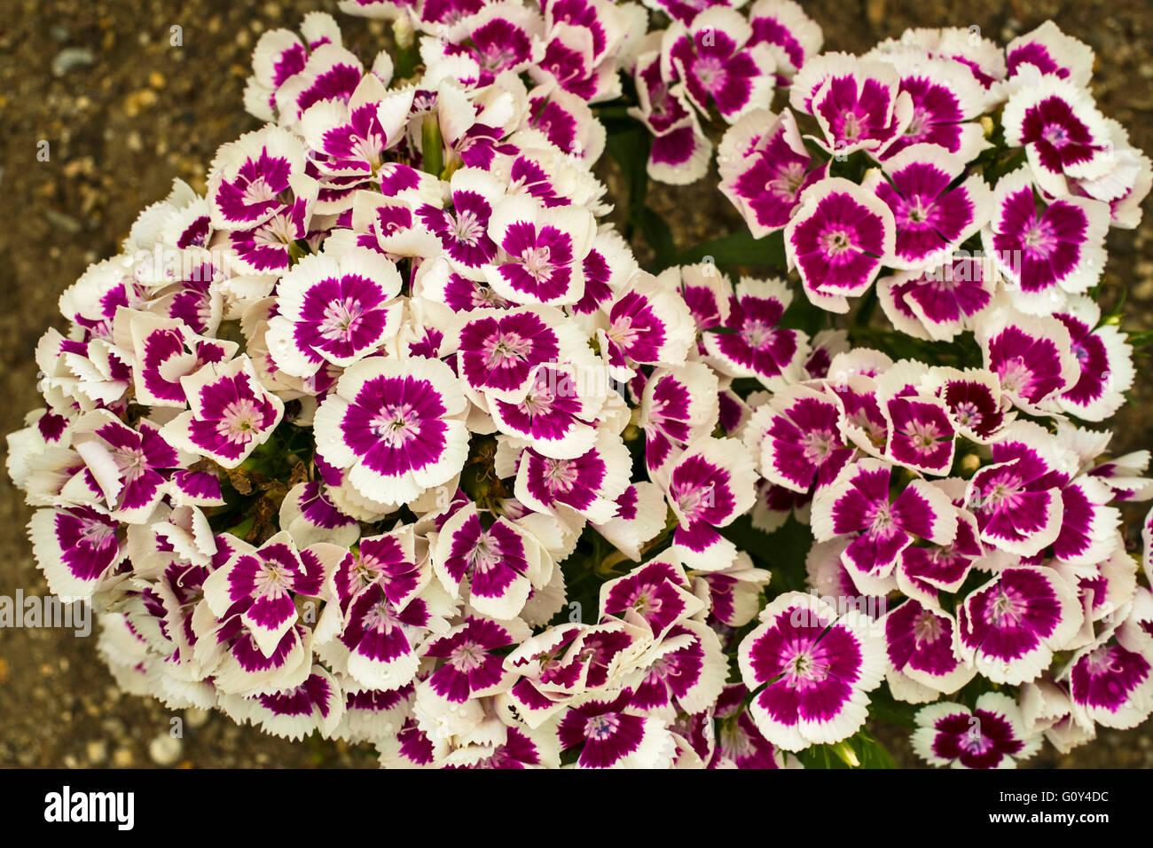 Dianthus barbatus (sweet williams) - Stock Image