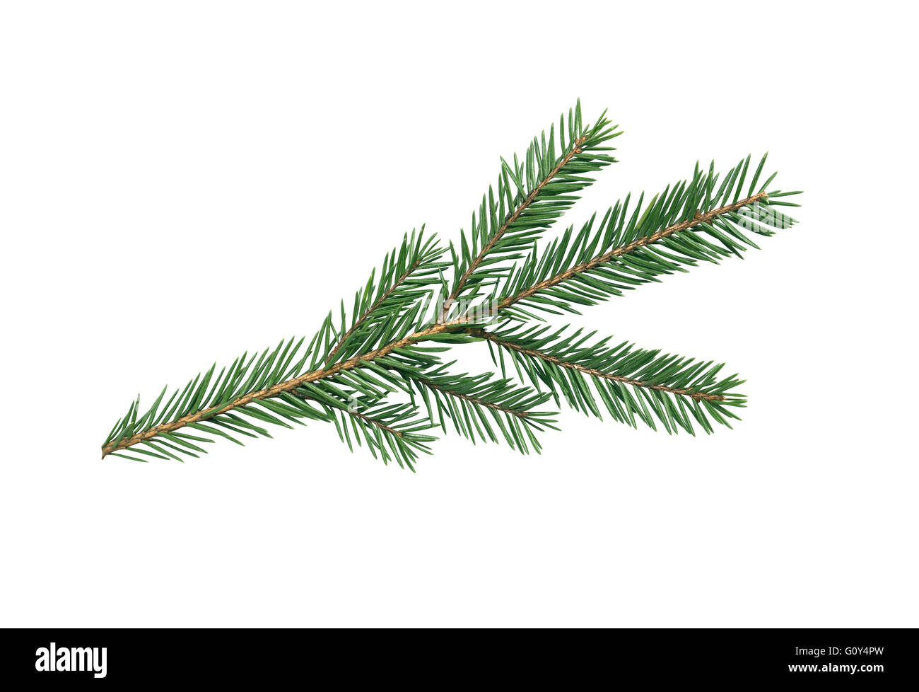 Spruce branch isolated on white background. Clipping path is included - Stock Image