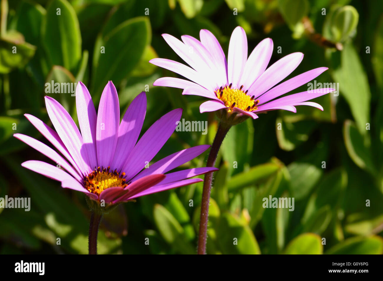 A Pink Daisy Like Flower Osteospermum Jucundum Found Below Stock
