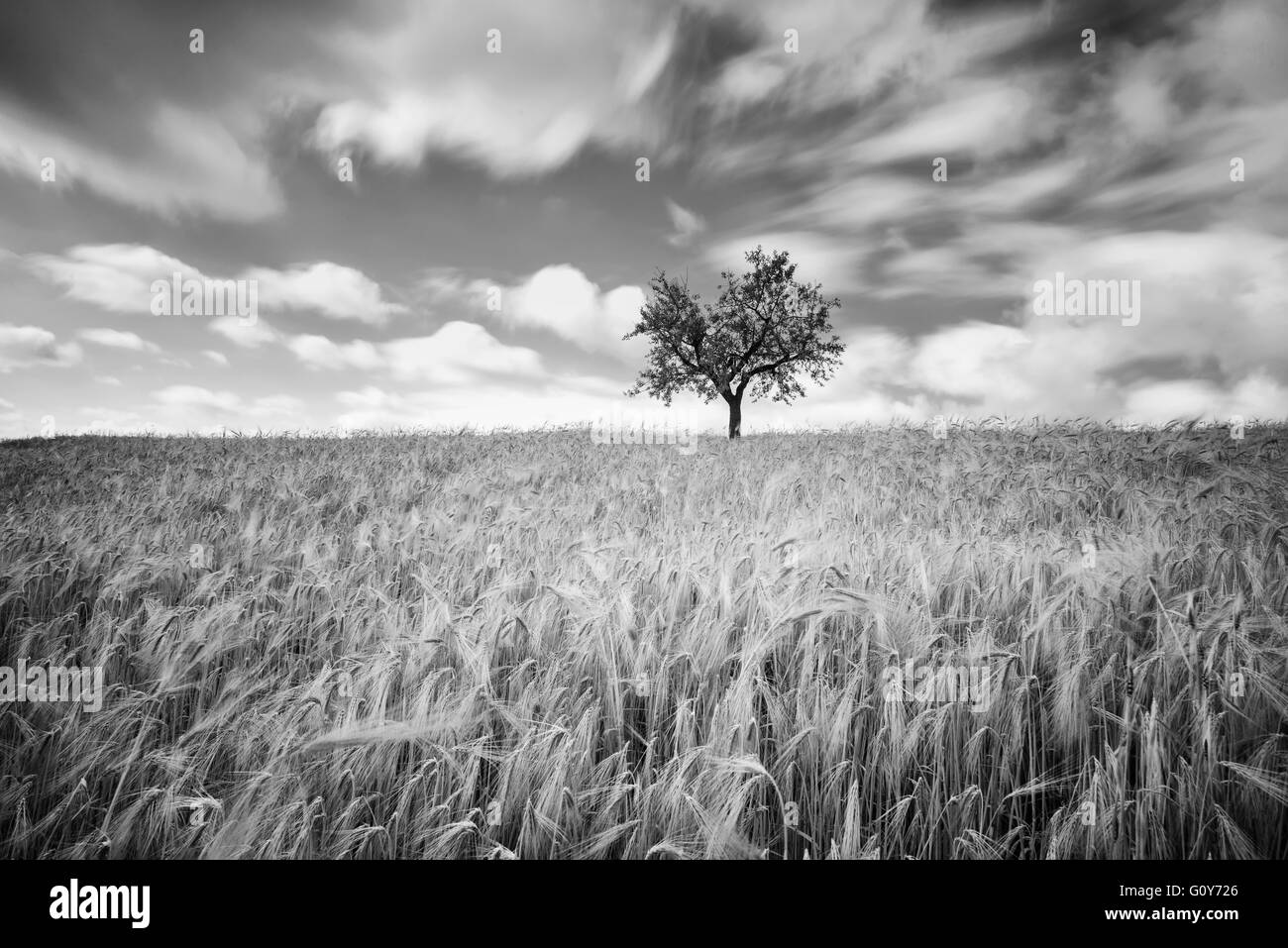 Green wheat on a grain field in spring, black and white photography with long exposure - Stock Image