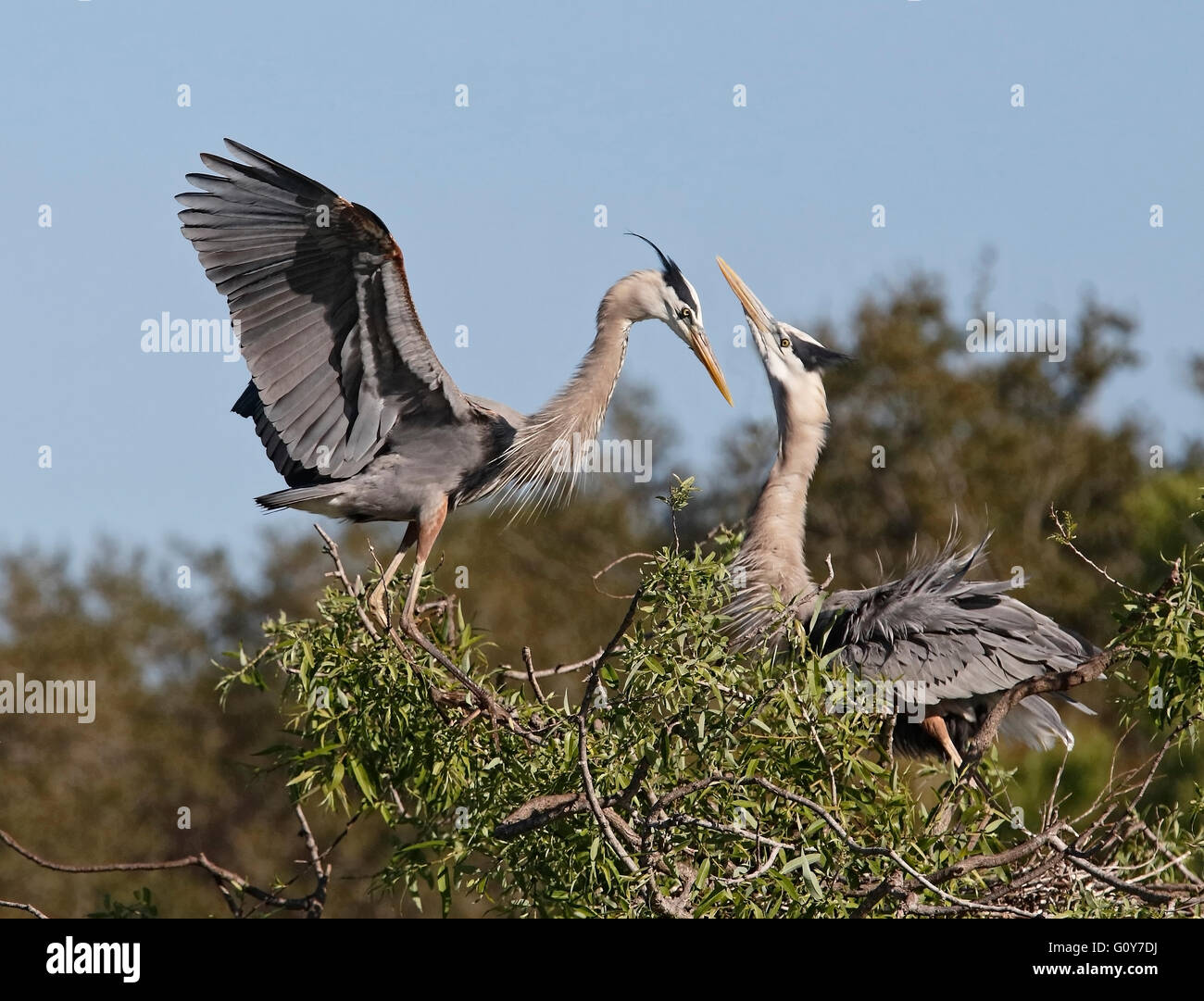Great Blue Heron (Ardea herodias) courting ritual at nest - Stock Image