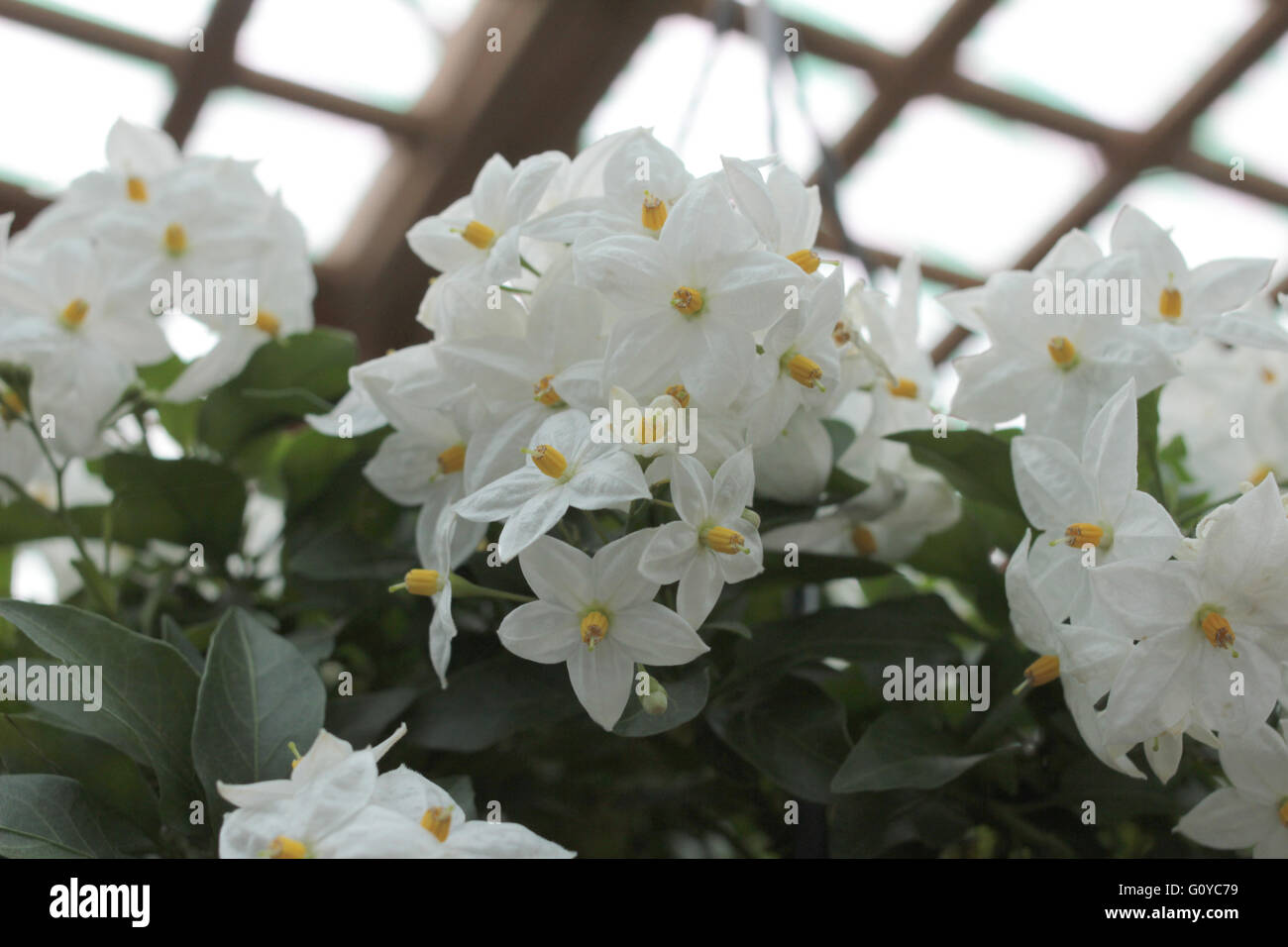 Star shaped flower stock photos star shaped flower stock images white star shaped flower with yellow button center stock image mightylinksfo