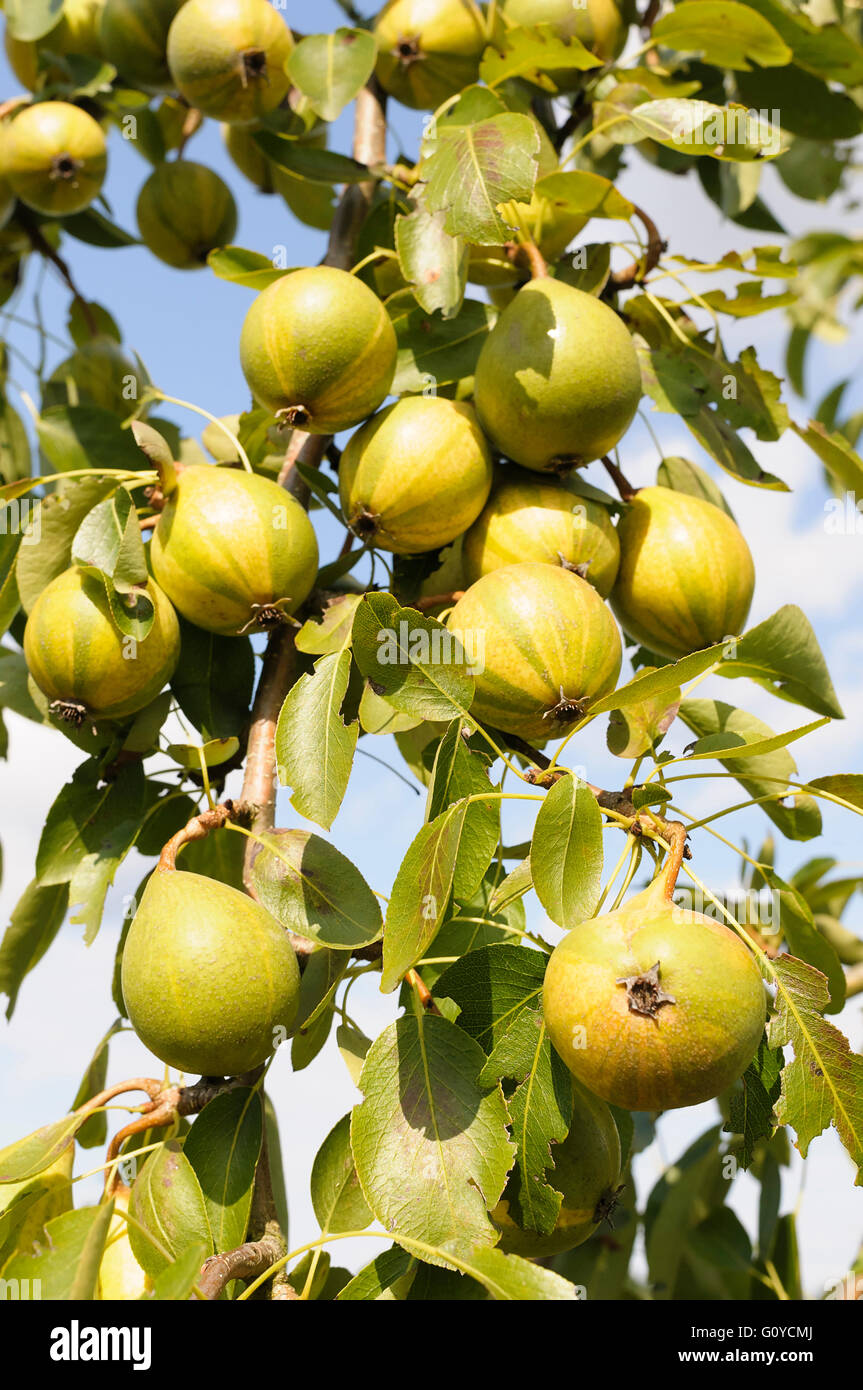Humbug pear, Pyrus, Pyrus communis 'Humbug', Beauty in Nature, Colour, Creative, Crops, Deciduous, Easter - Stock Image