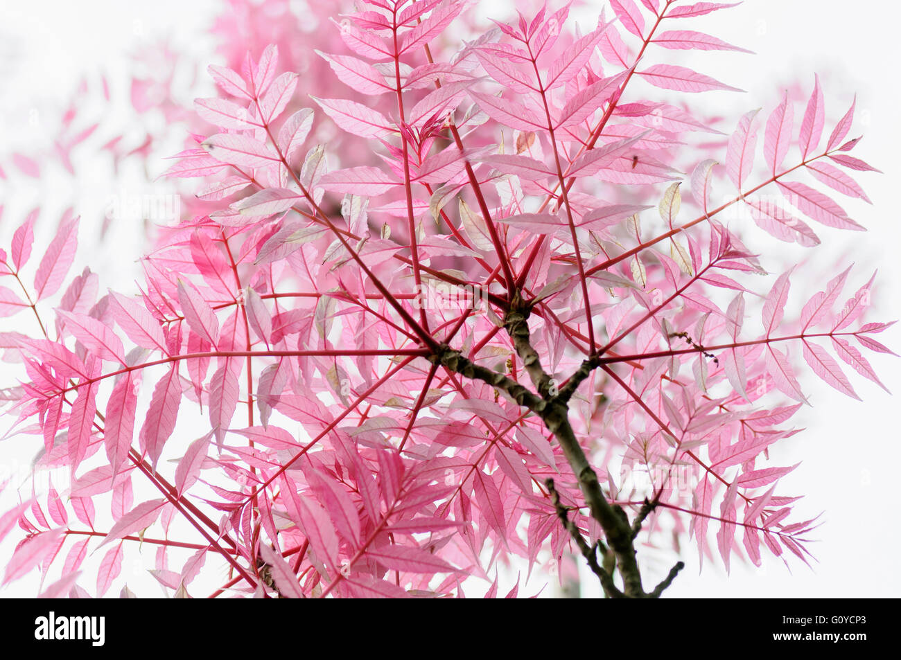 Chinese toon, Toona, Toona Sinensis 'Flamingo', Beauty in Nature, China indigenous, Colour, Creative, Deciduous, - Stock Image