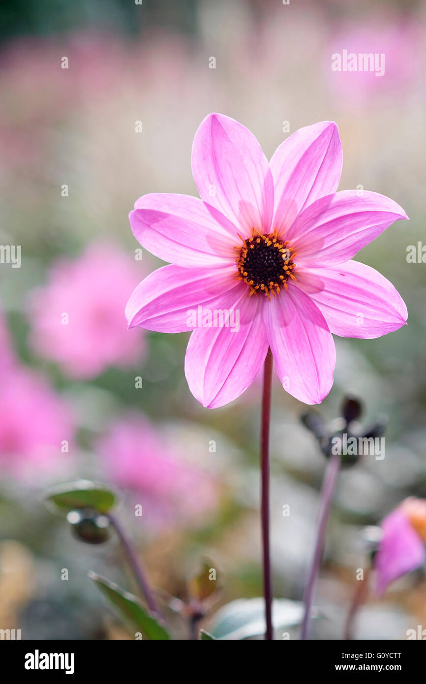 Dahlia, Dahlia 'Magenta Star', Beauty in Nature, Bulb, Colour, Cottage garden plant, Flower, Autumn Flowering, - Stock Image