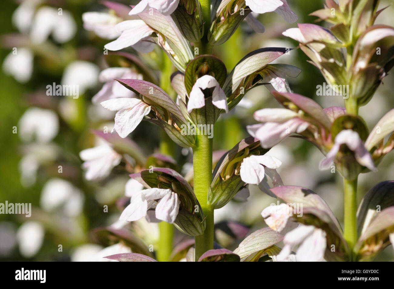 Bears Breeches Acanthus Acanthus Mollis Beauty In Nature Colour