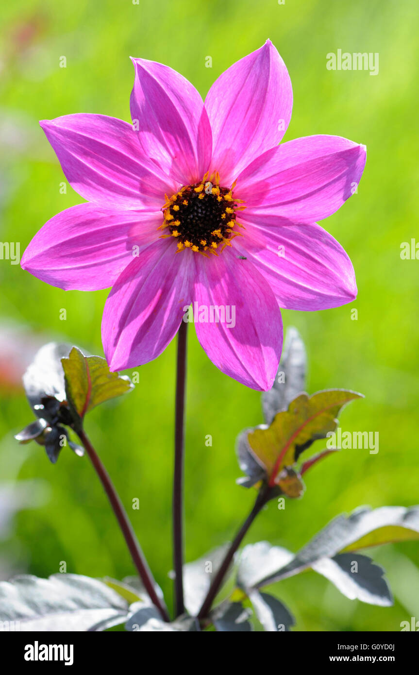 Dahlia, Dahlia 'Magenta Star', Beauty in Nature, Bulb, Colour, Cottage garden plant, Creative, Flower, Autumn - Stock Image
