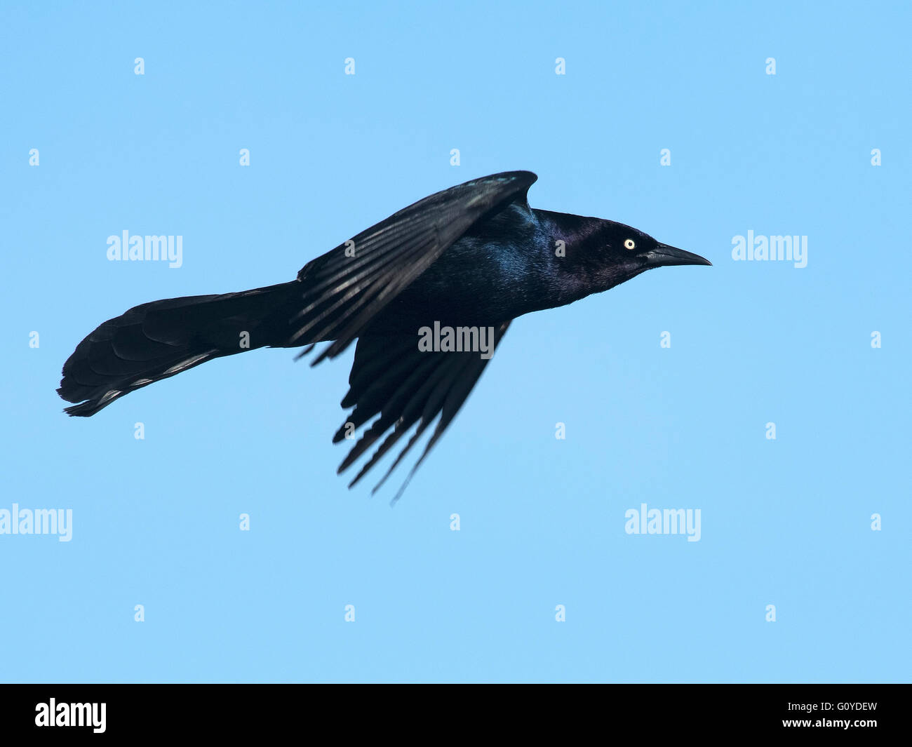 Grackle Stock Photos & Grackle Stock Images - Alamy  Grackle Stock P...
