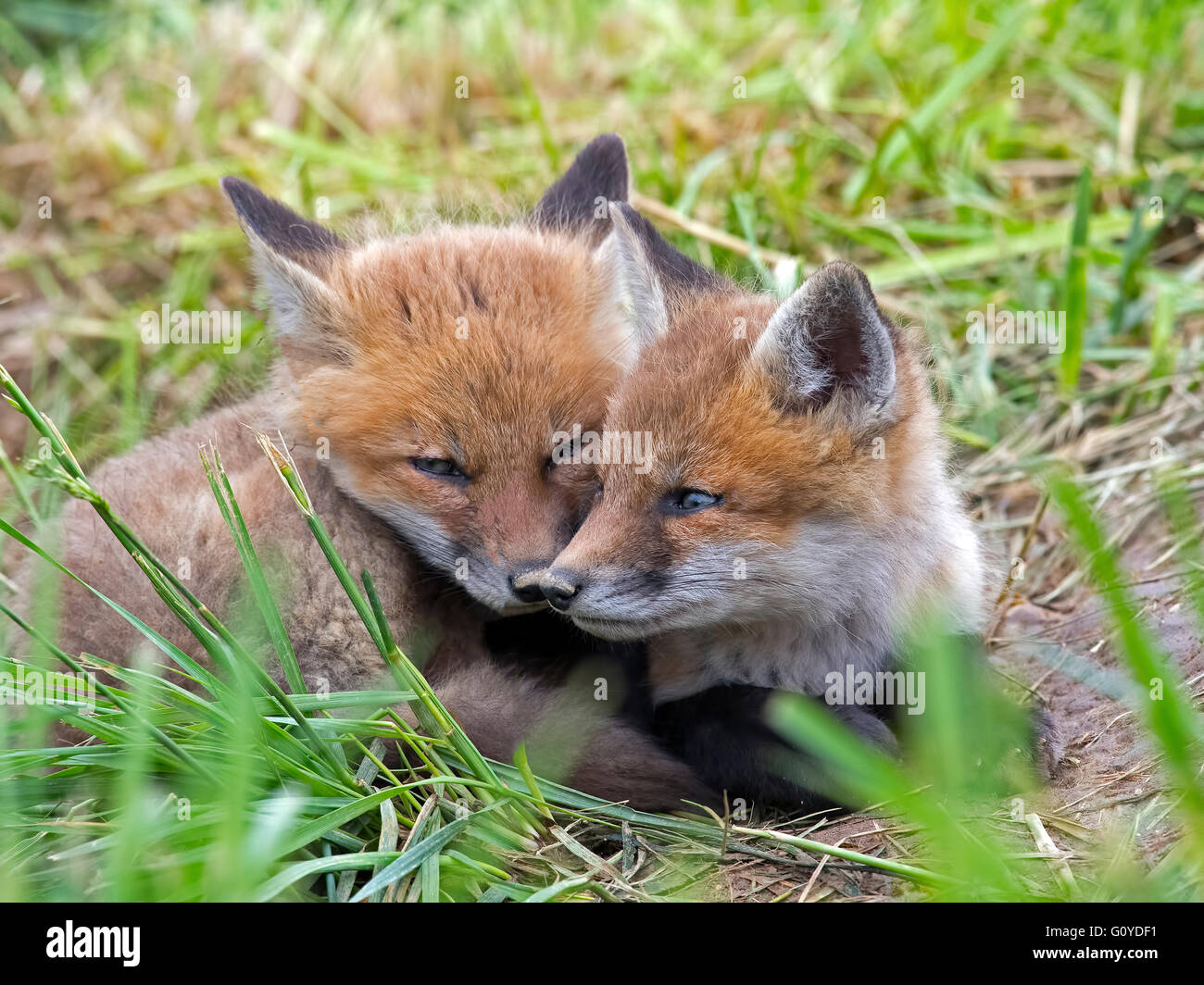 A pair of Red Fox Kit's - Stock Image