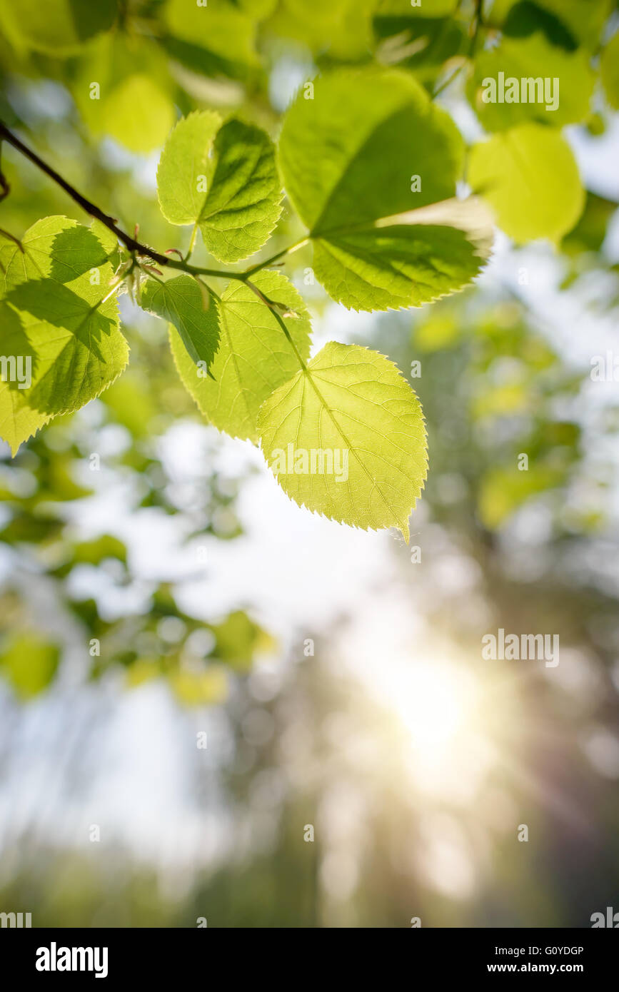 Backlit green transparent leaves of Tilia cordata , also called small-leaved lime. The veins appear under the soft - Stock Image