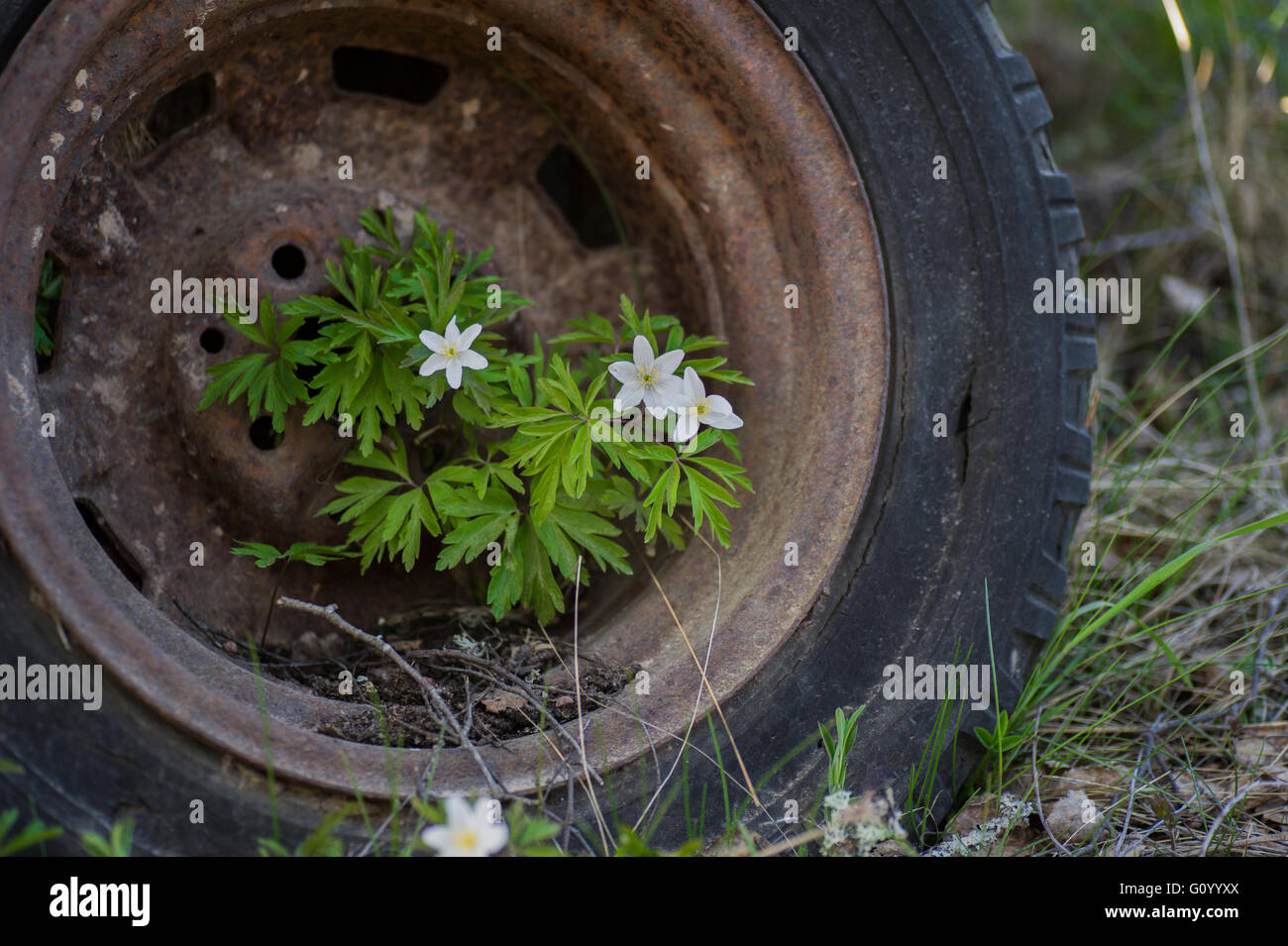 Anemones growing in a rusty old car tire. - Stock Image