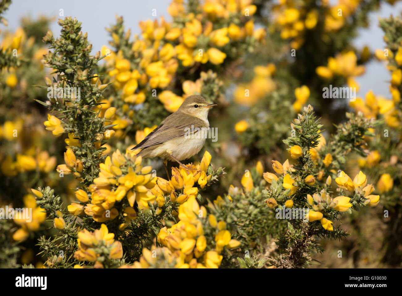 Willow Warbler on gorse - Stock Image