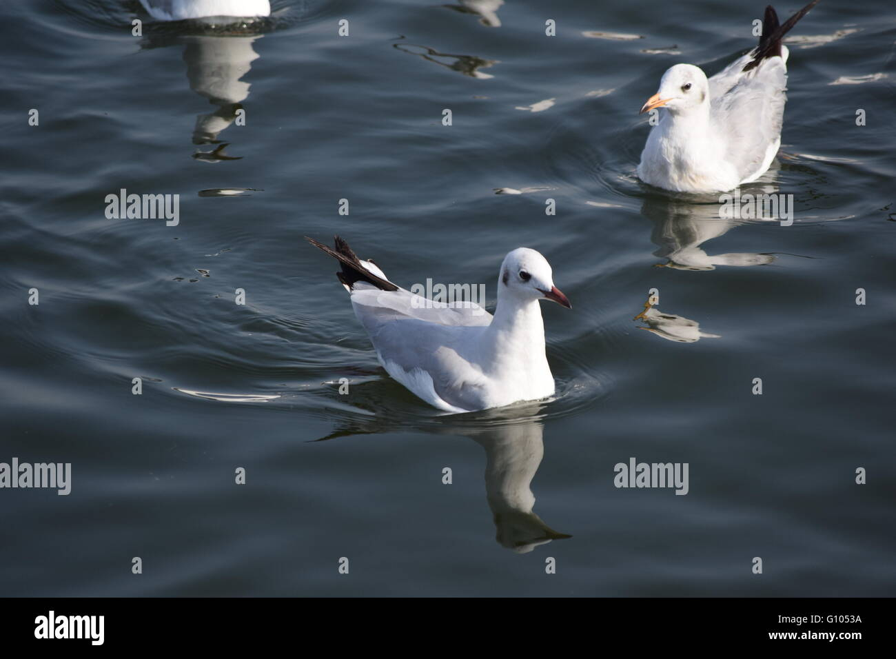 Colour Image, Day, Flock Of Birds,sea - Stock Image