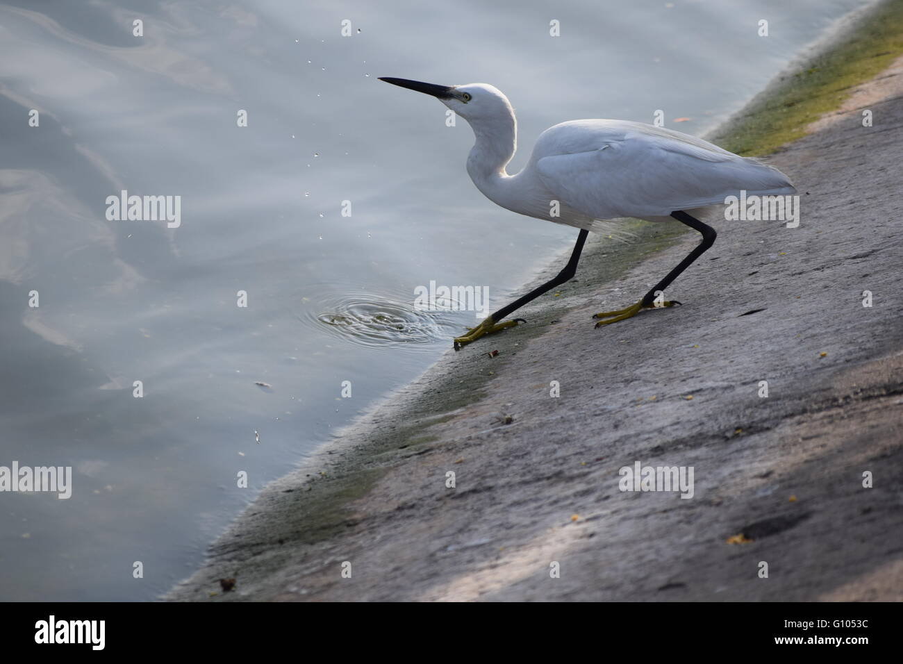 bird patiently waiting on the edge of the river , - Stock Image