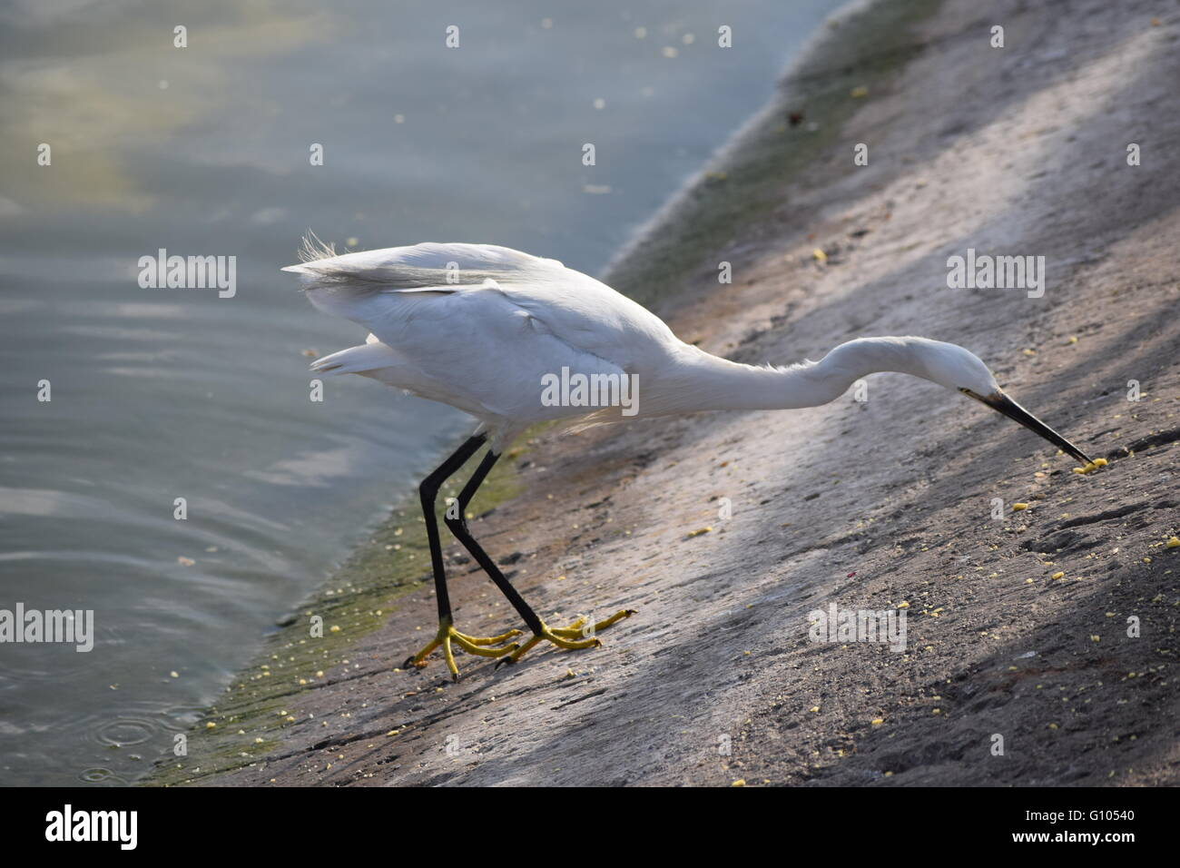 bird patiently waiting on the edge of the river , waiting to catch a fish - Stock Image