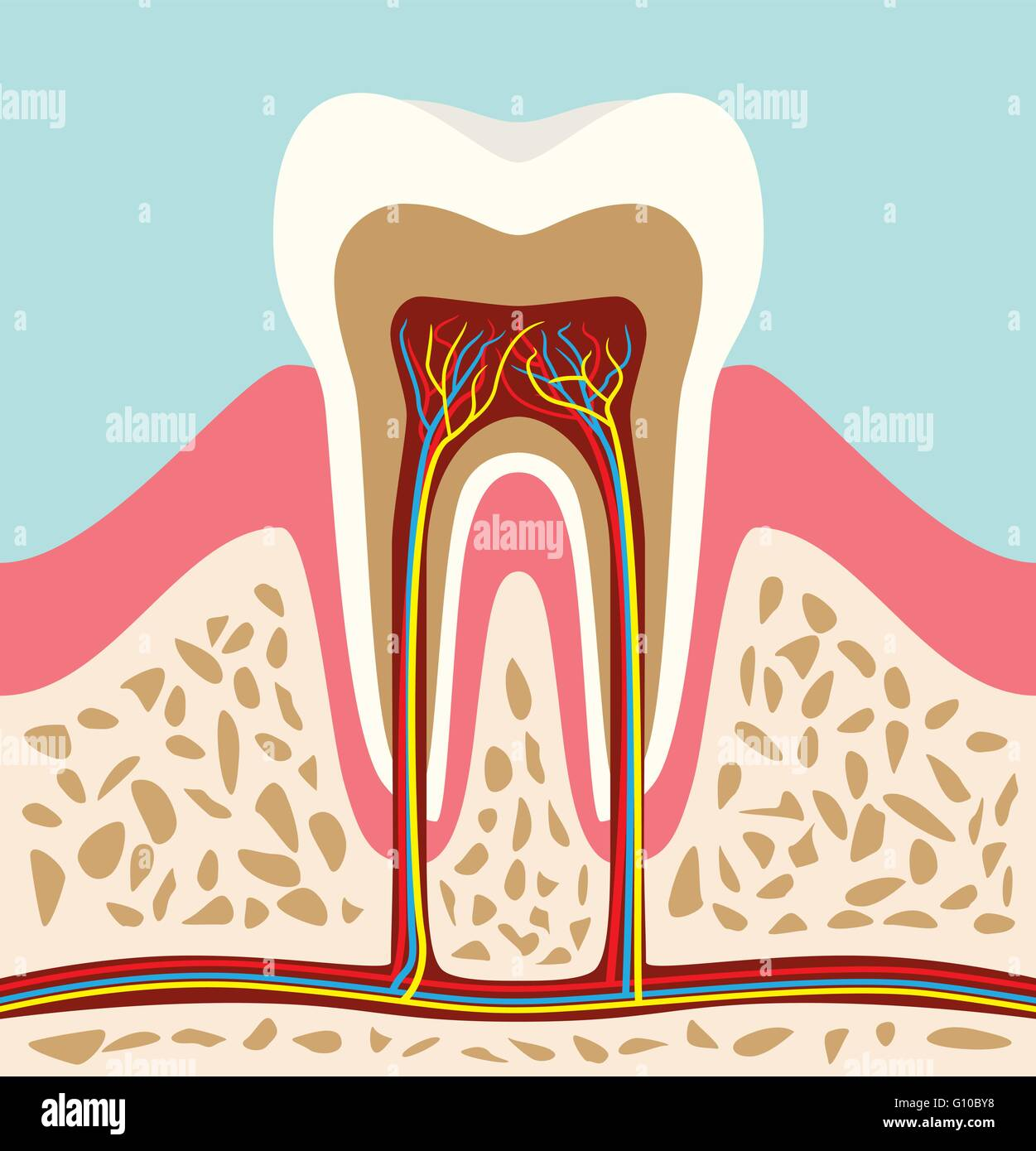 Tooth Teeth Cell Structure Anatomy With Flat Style Stock Vector Art