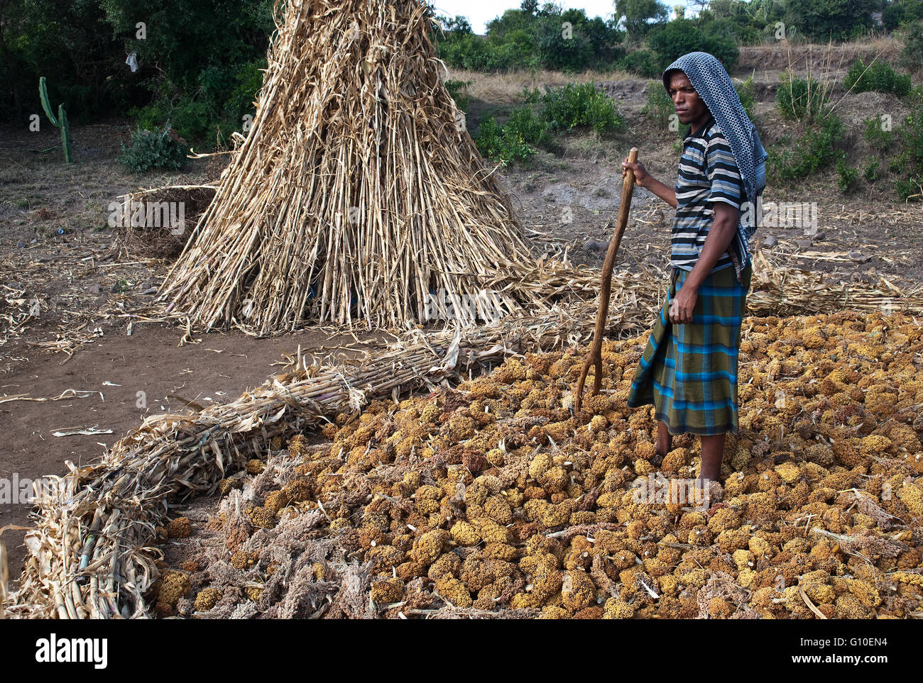 Muslim man harvesting sorghum. He belongs to the Oromo ethnic group ( Ethiopia) - Stock Image