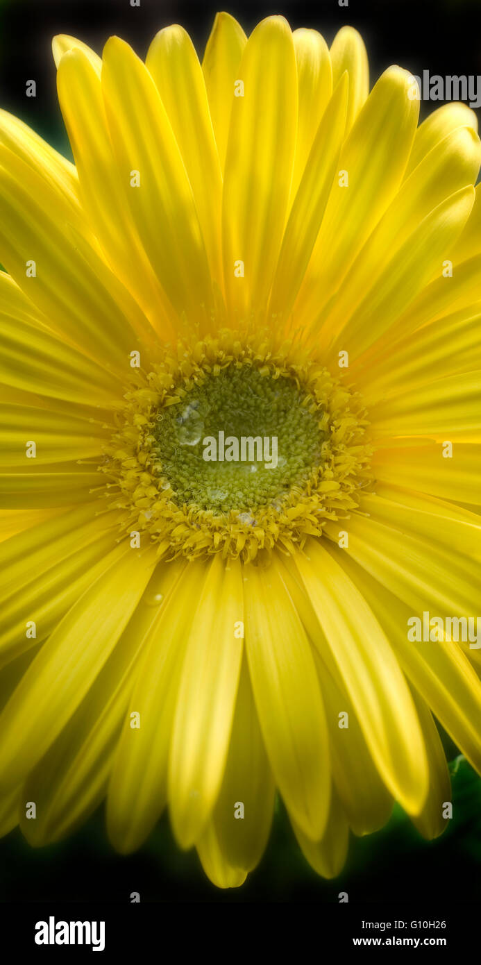 Gerber Transvaal Daisy with drops of dew - Stock Image