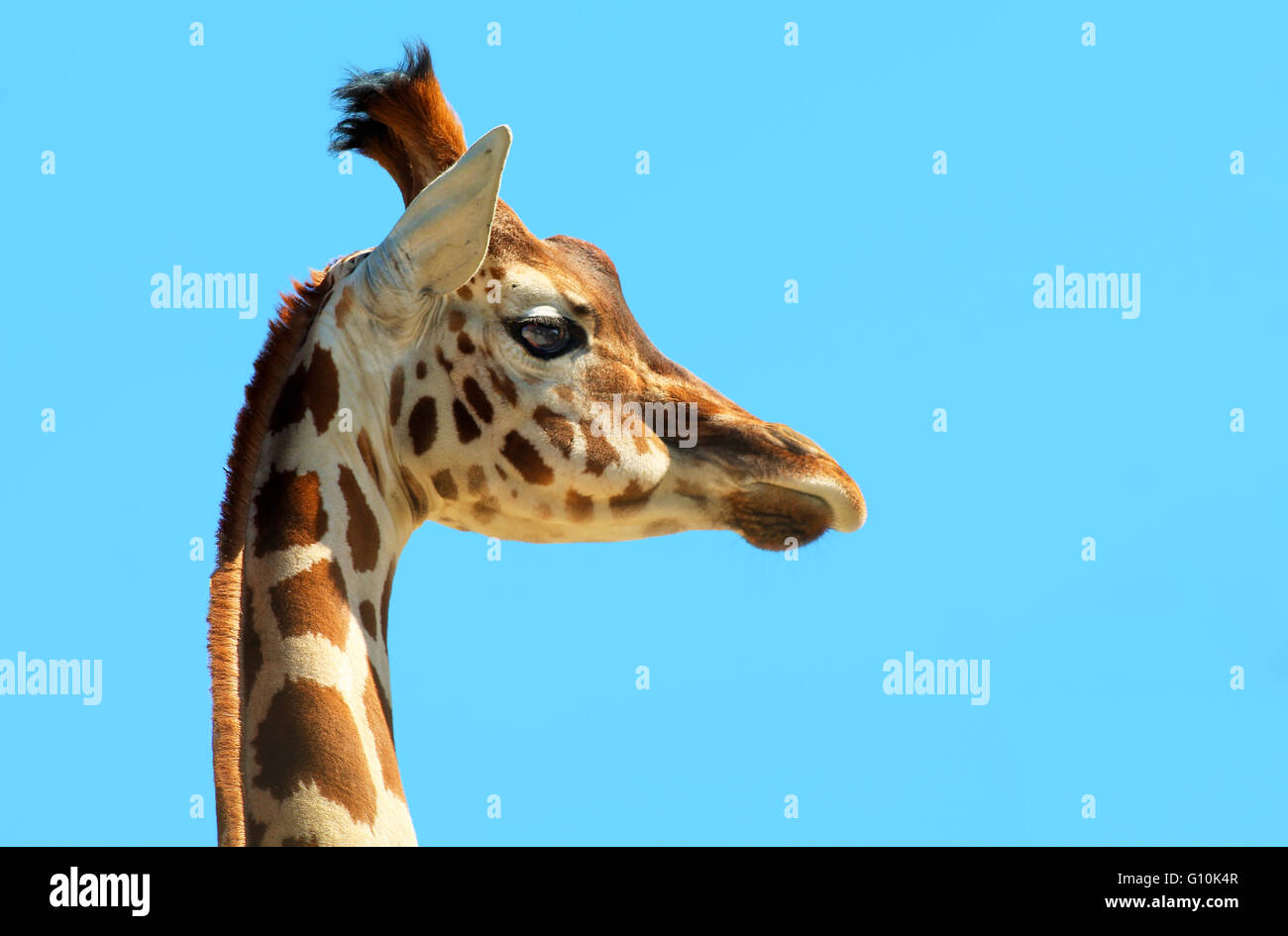 Portrait of a young giraffe - Stock Image