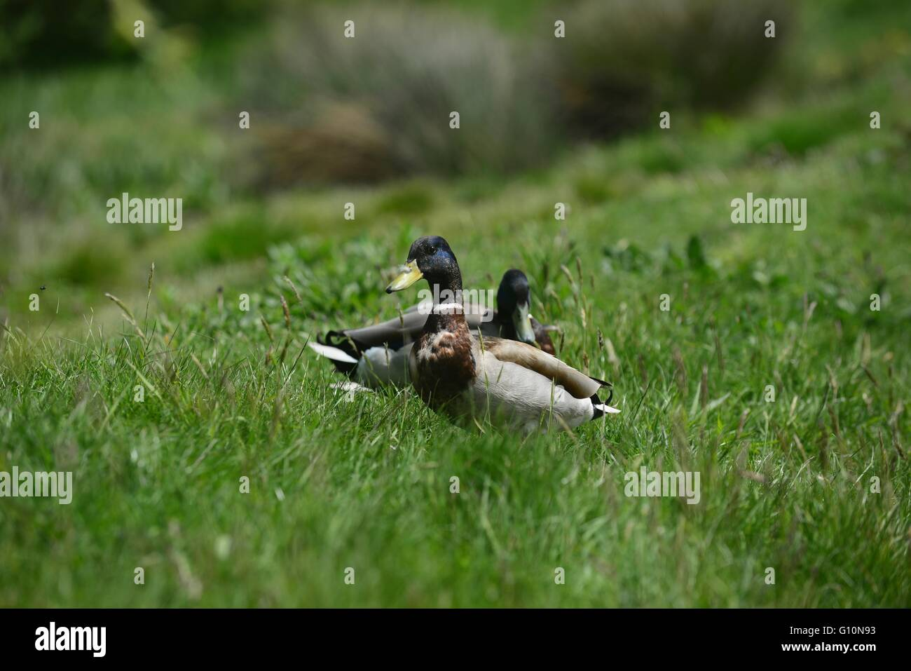 Ducks in the Wetlands area of The Queen Elizabeth Olympic Park, Stratford, London, England, UK - Stock Image