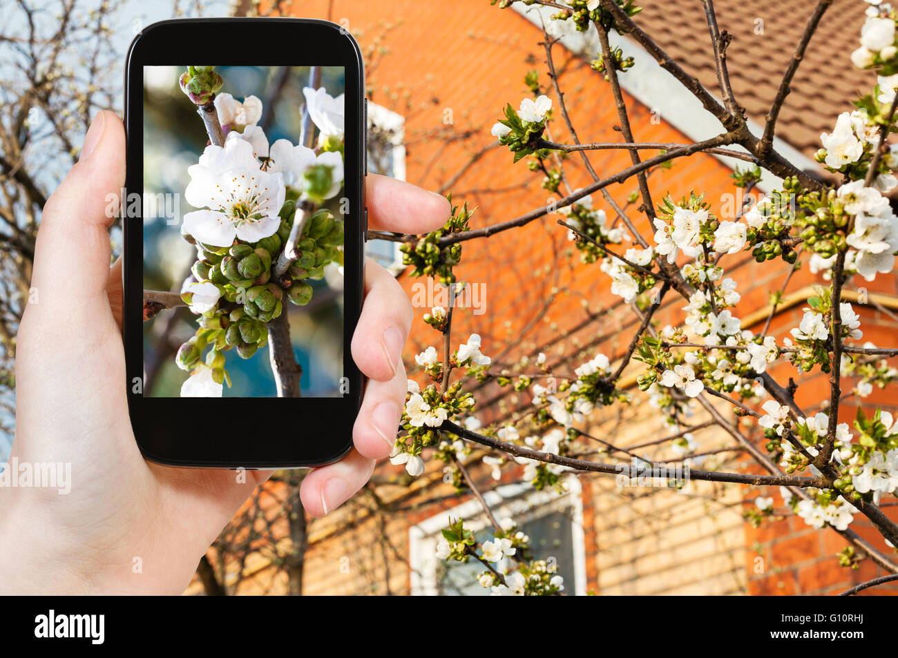 gardening concept - farmer photographs white blossoms of black ... on