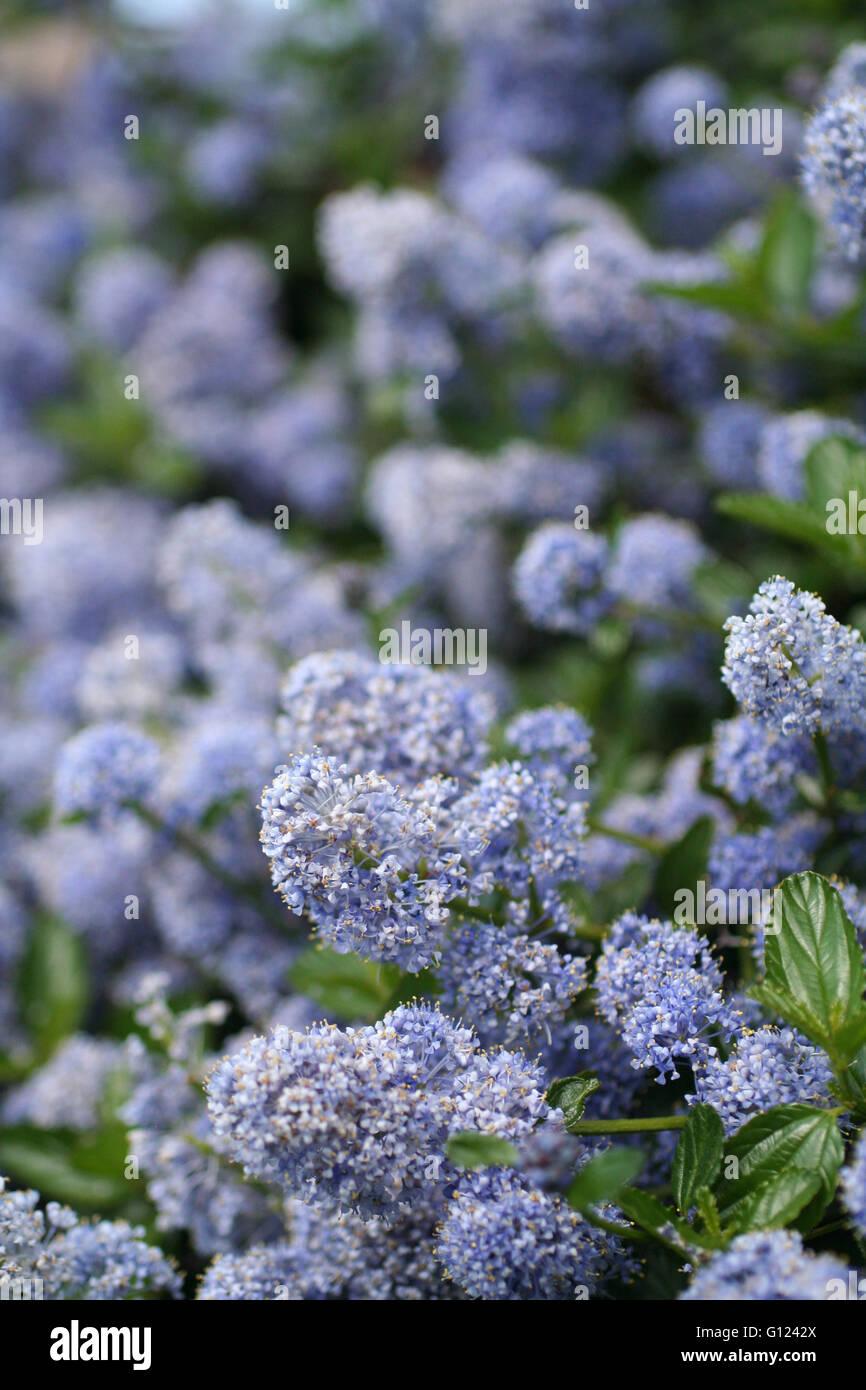 Blue, purple, lilac flower blossom - Stock Image