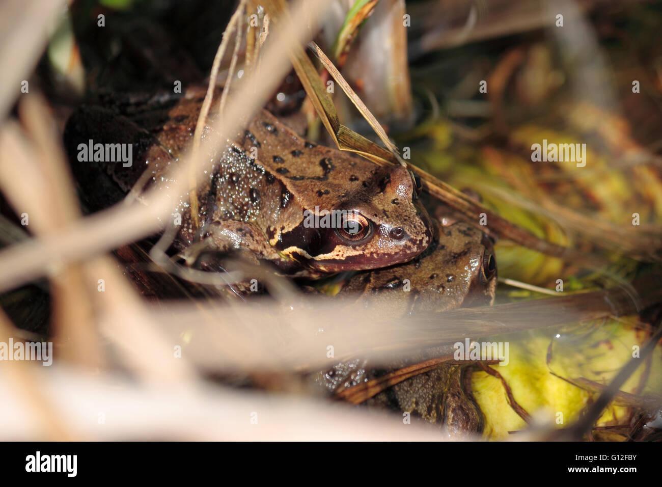Common English frog rana temporaria in a garden pond - Stock Image