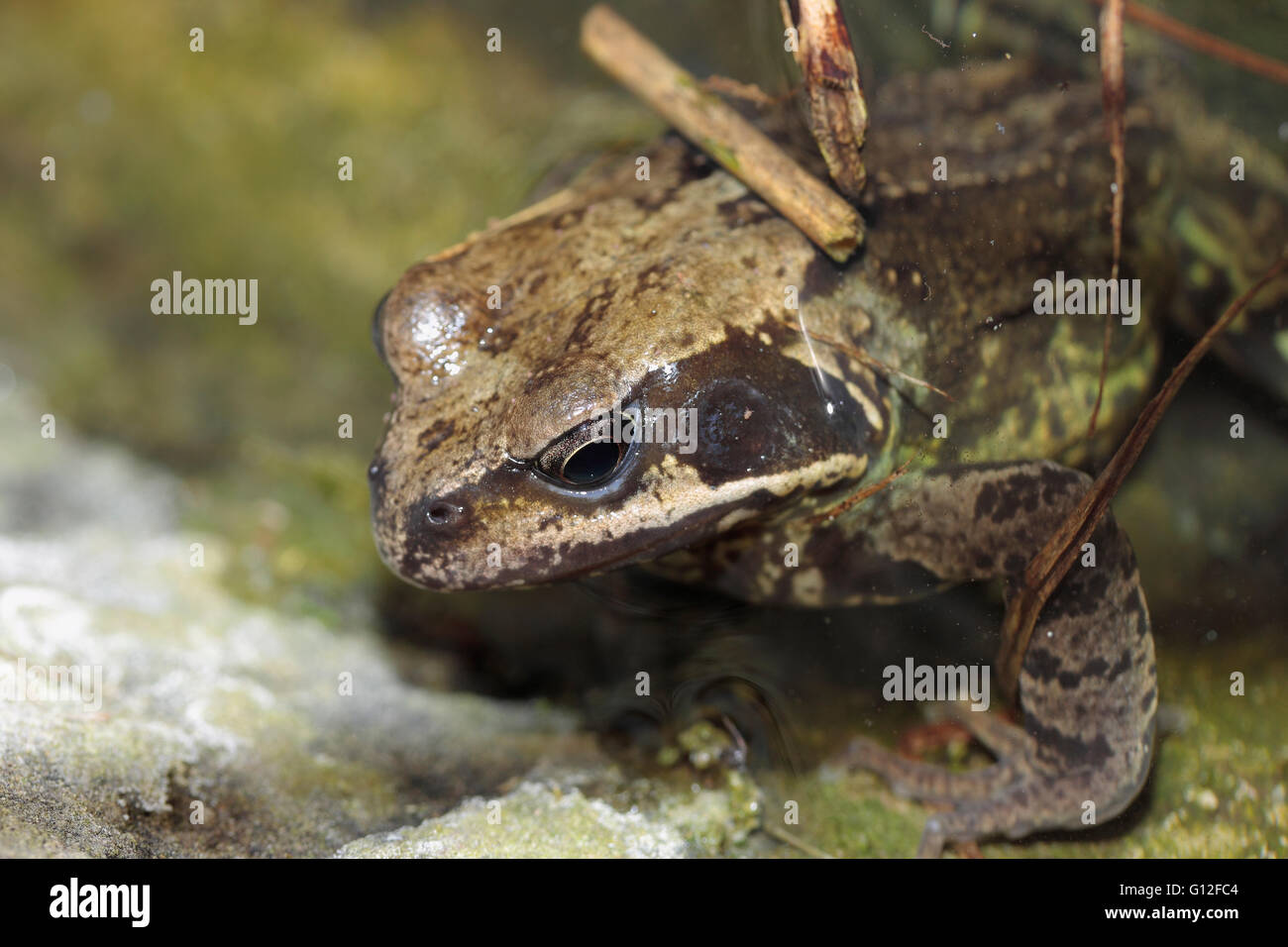 Common English frog rana temporaria in a garden pond - Stock Image