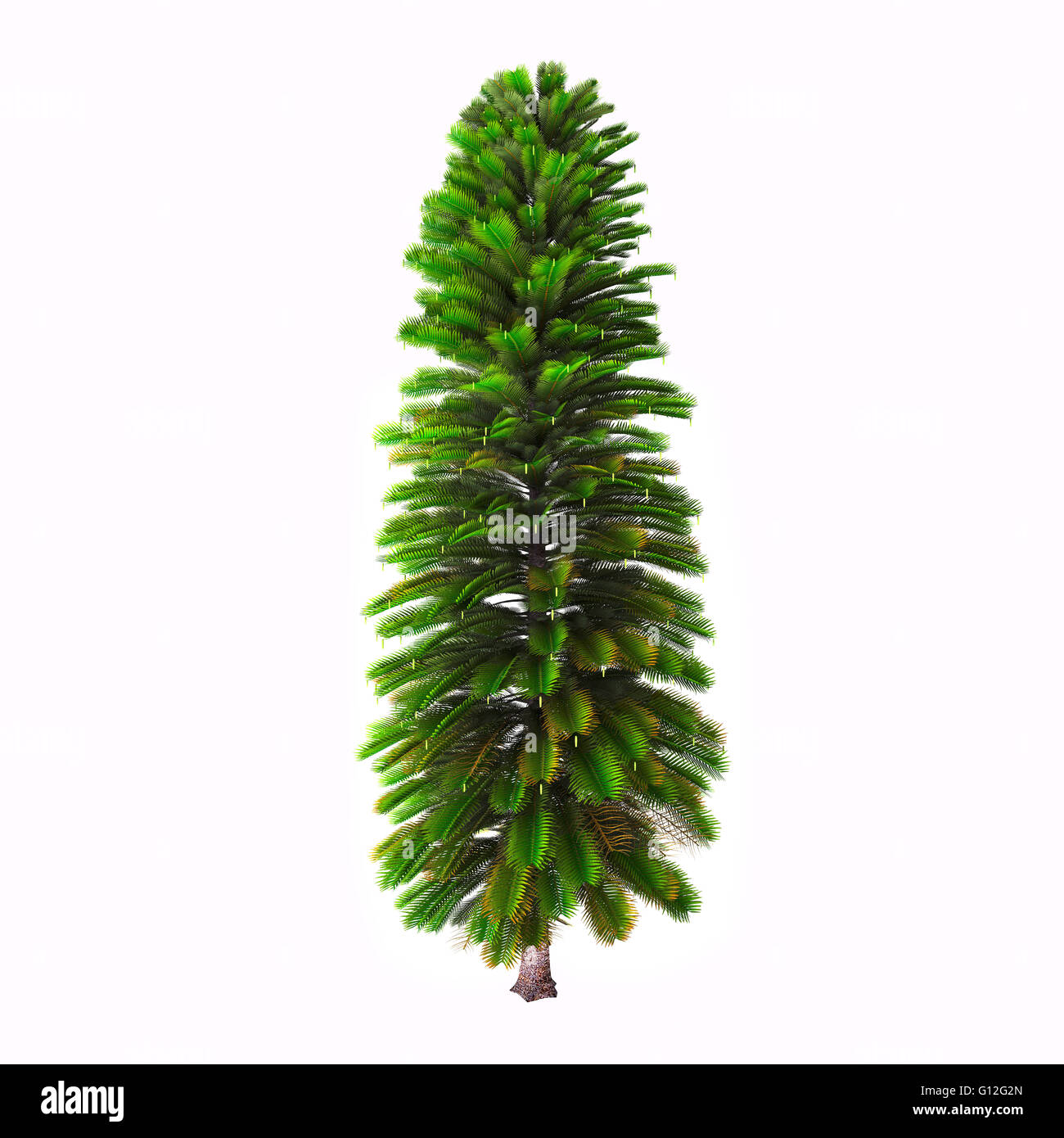 Wollemia is a genus of coniferous tree in the family Araucariaceae. - Stock Image