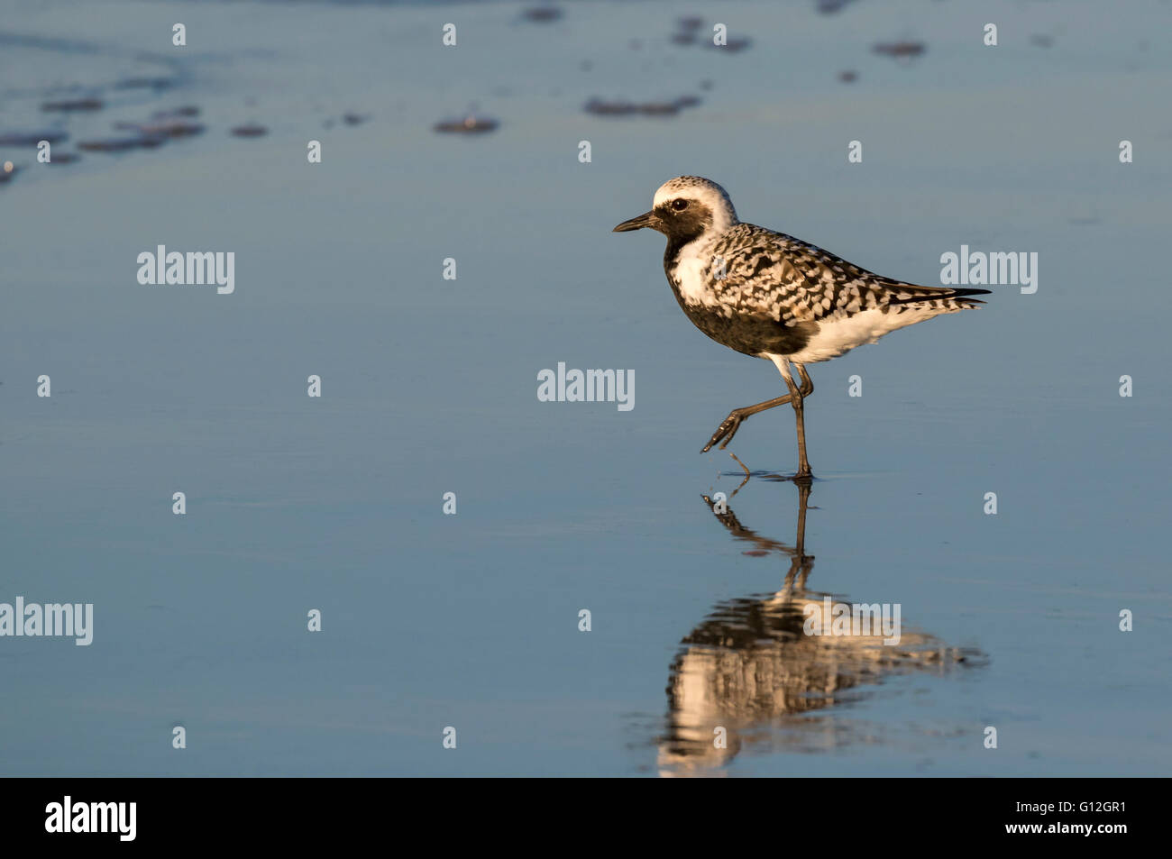 Black-bellied, or grey plover (Pluvialis squatarola) in breeding plumage on the ocean beach, Galveston, Texas, USA. - Stock Image