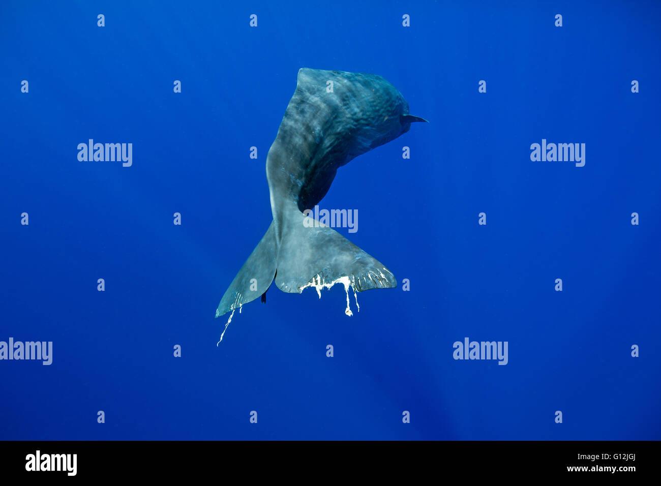 Sperm Whale, Physeter macrocephalus, Caribbean Sea, Dominica - Stock Image