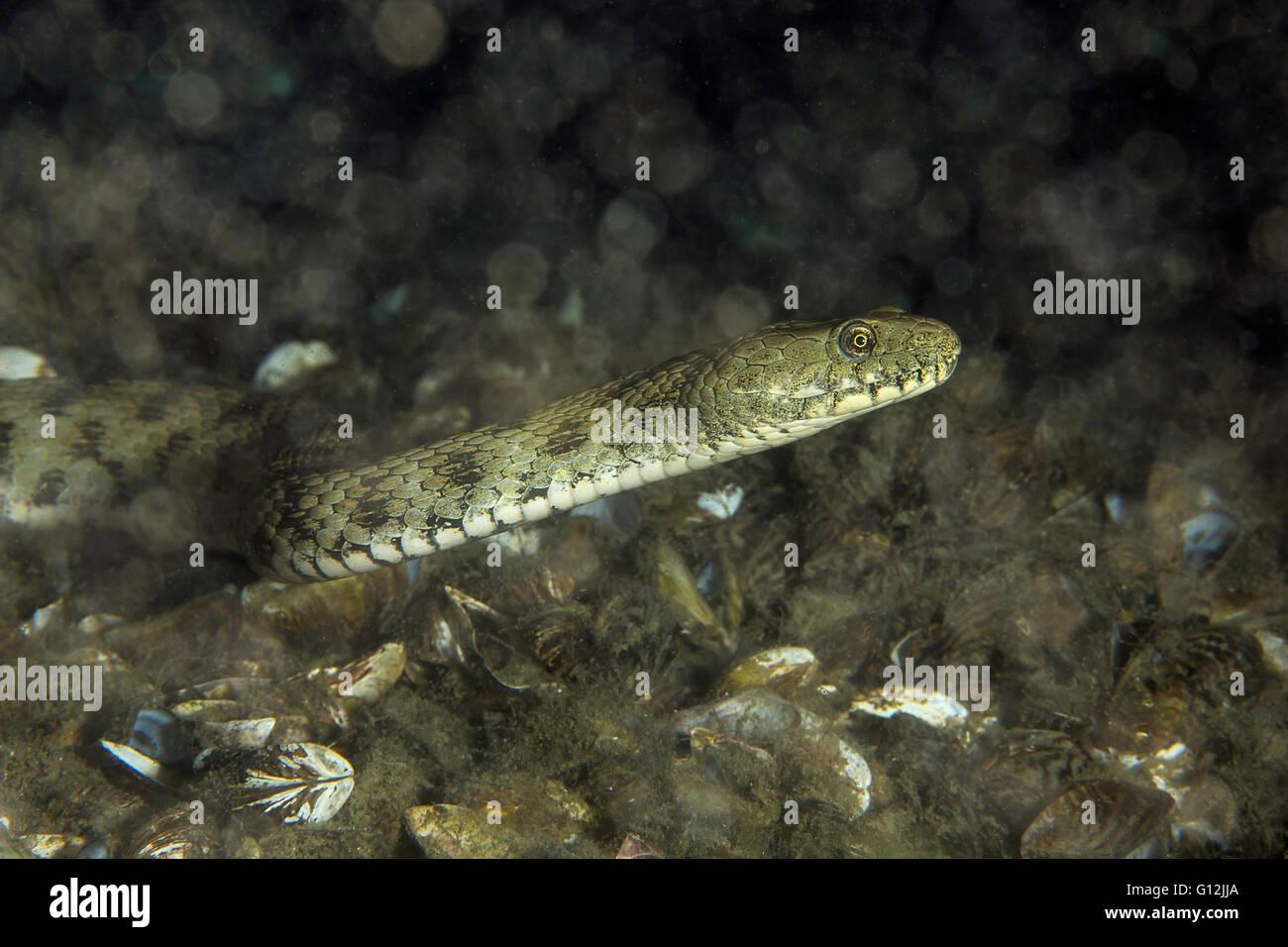 Dice Snake, Natrix tessellata, Lake Lugano, Switzerland - Stock Image