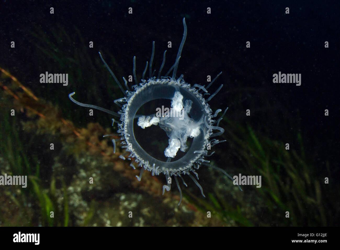 Freshwater Jellyfish, Craspedacusta sowerbii, Lake Lugano, Switzerland Stock Photo