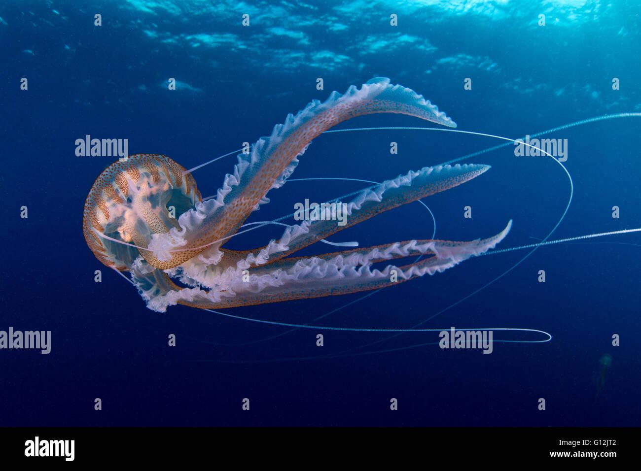 Mauve Stinger Jellyfish, Pelagia noctiluca, Santa Maria, Azores, Portugal - Stock Image